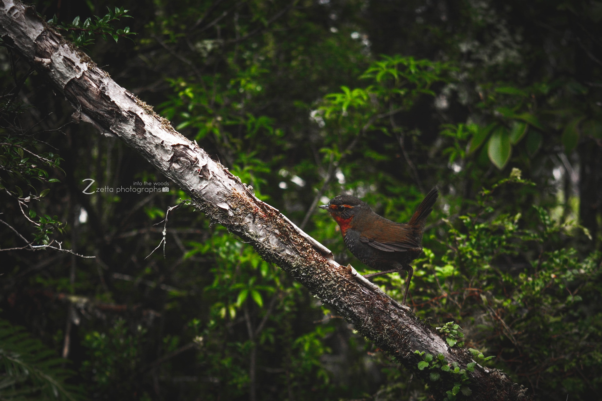 Into the Woods | Chincol by Felipe Zanotti