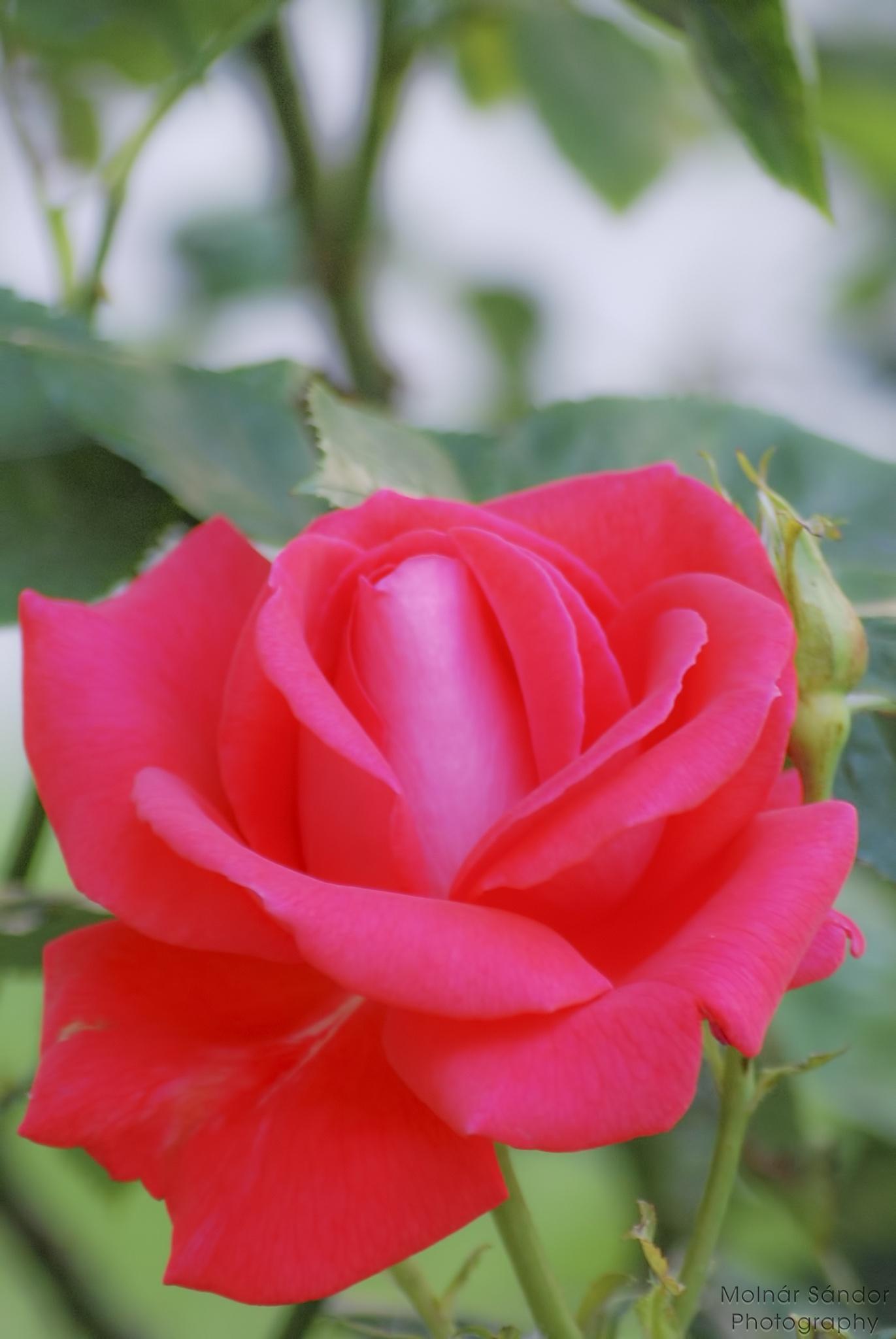 Rose .... by Alexander Molnár