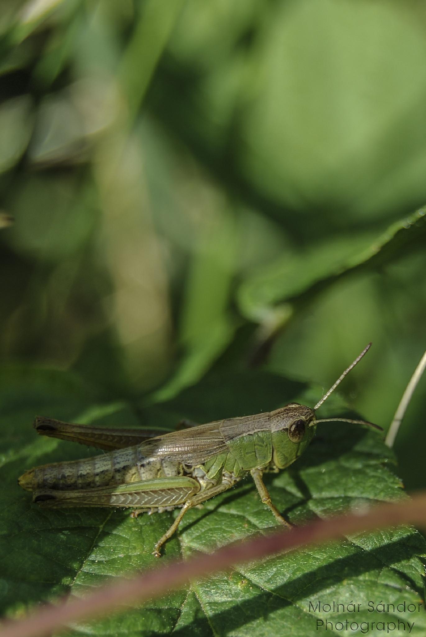 Grasshopper .... by Alexander Molnár