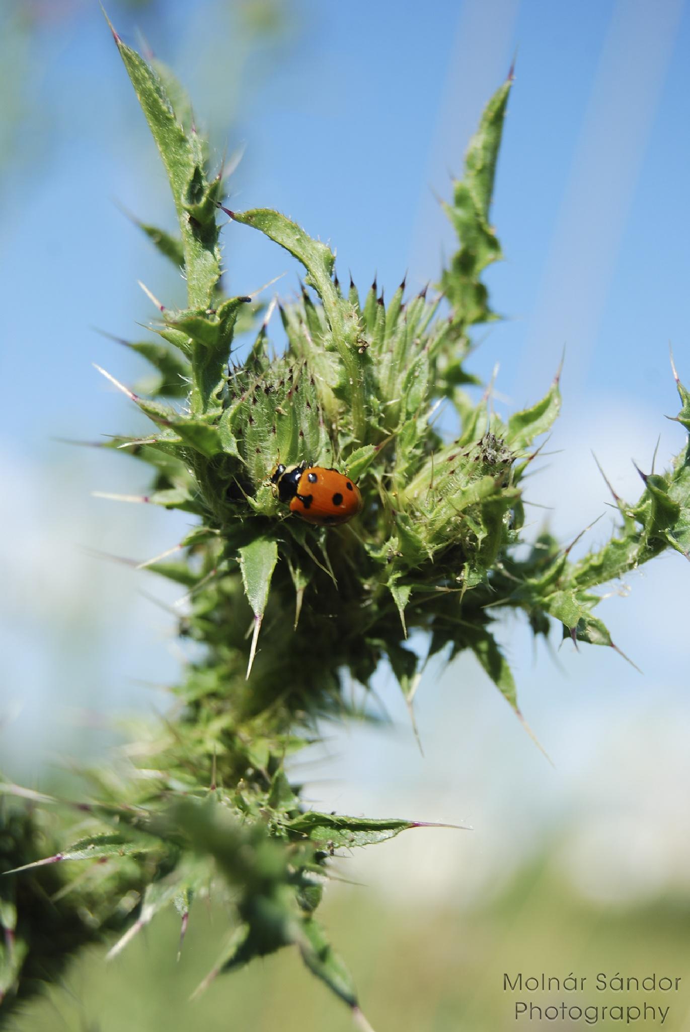 Ladybird .... by Alexander Molnár