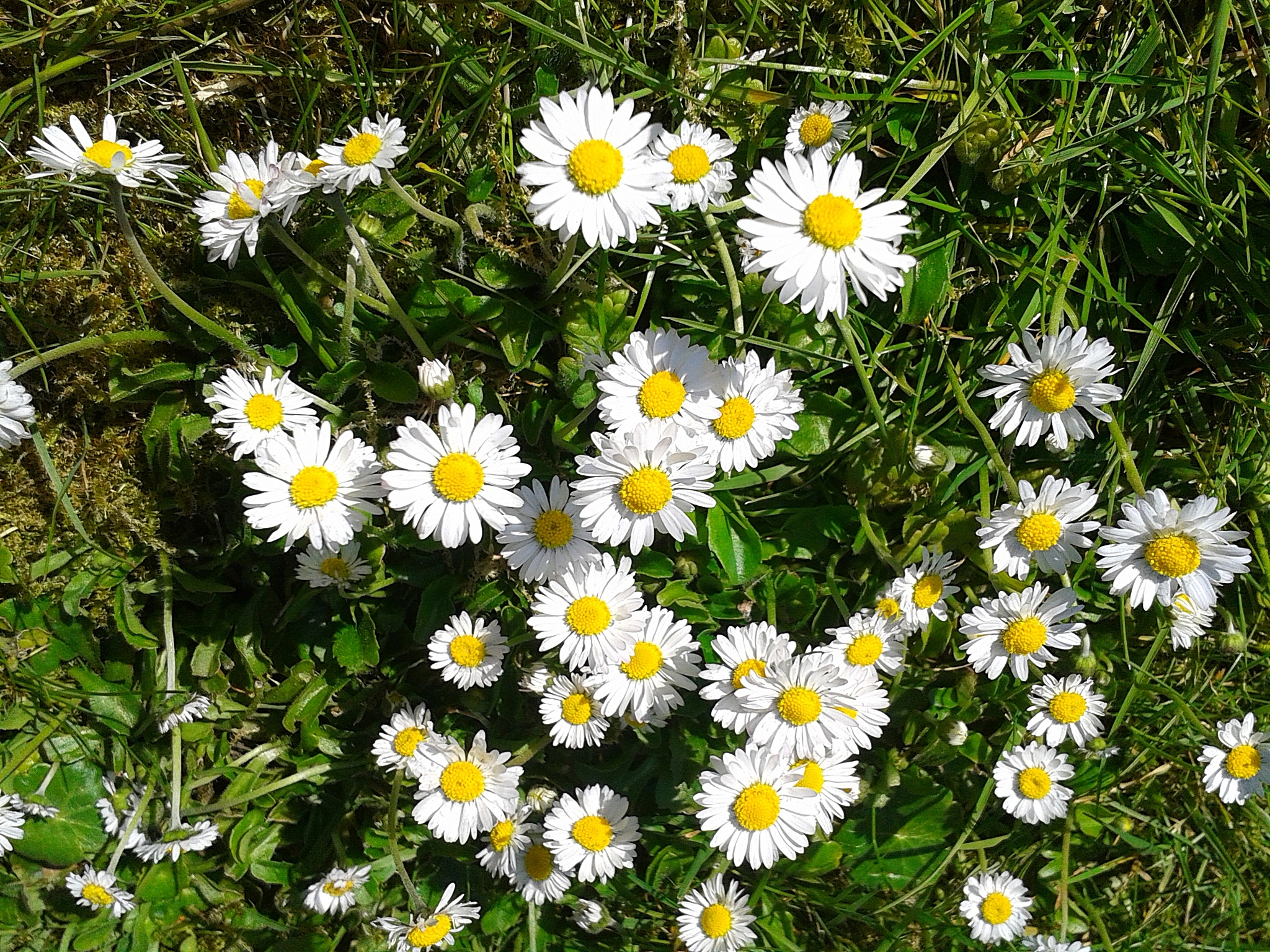 Daisys by Carolin Schmidt