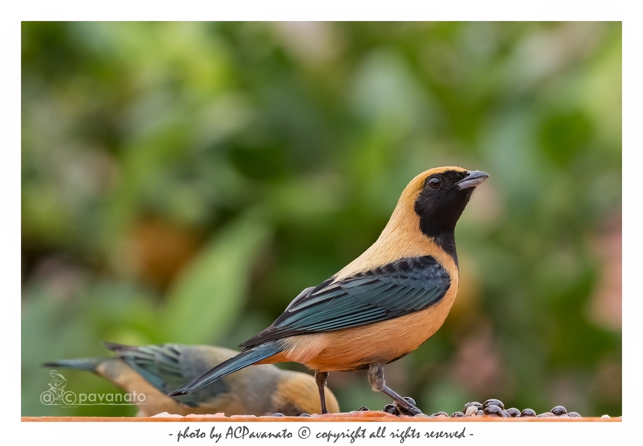 Birds  by ACPavanato