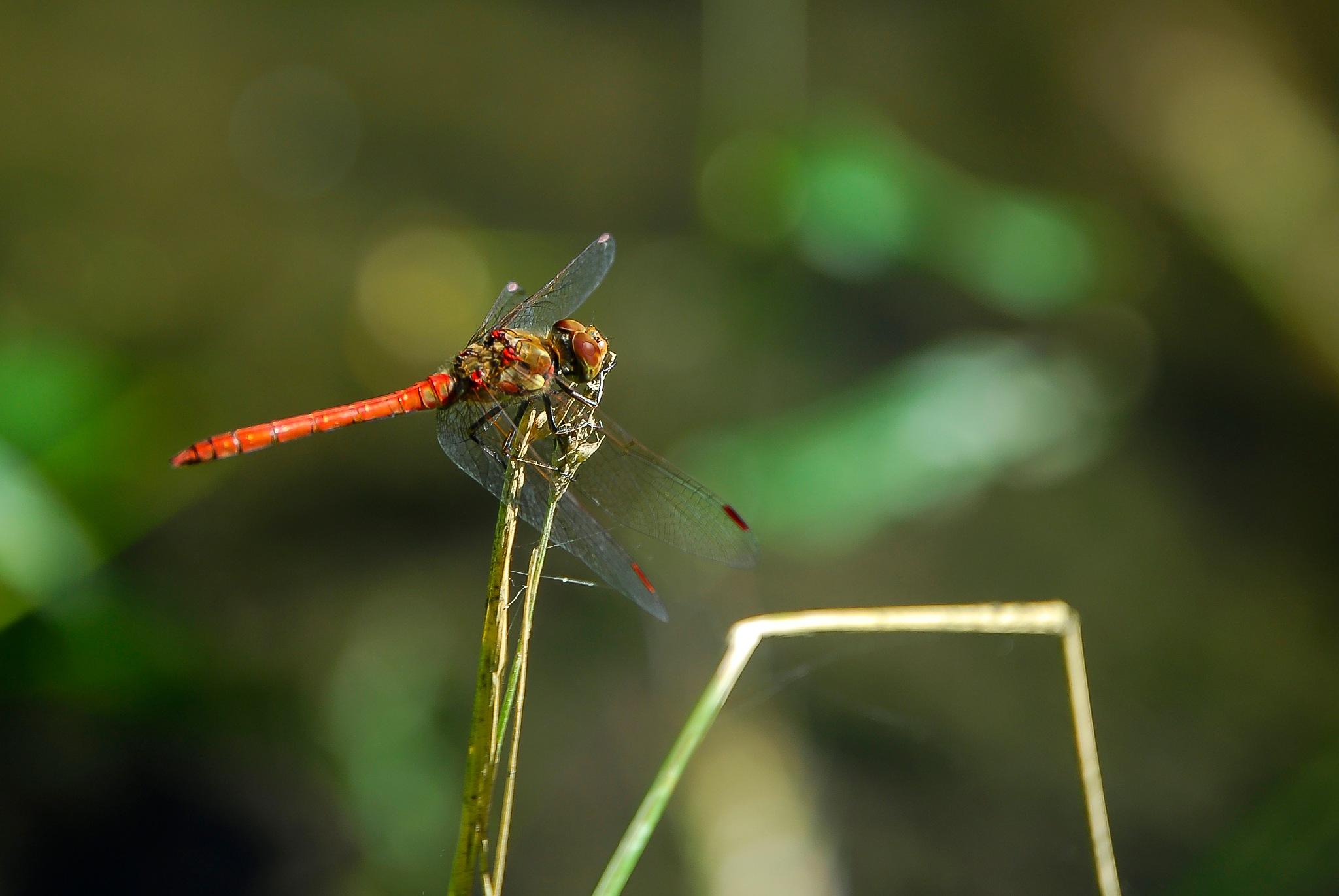 dragonfly by fernanduk