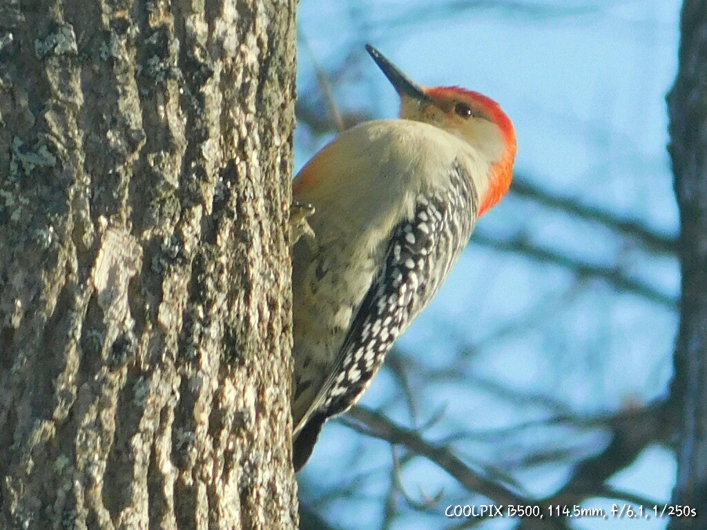 Northern Flicker by Stacey J. Cunningham