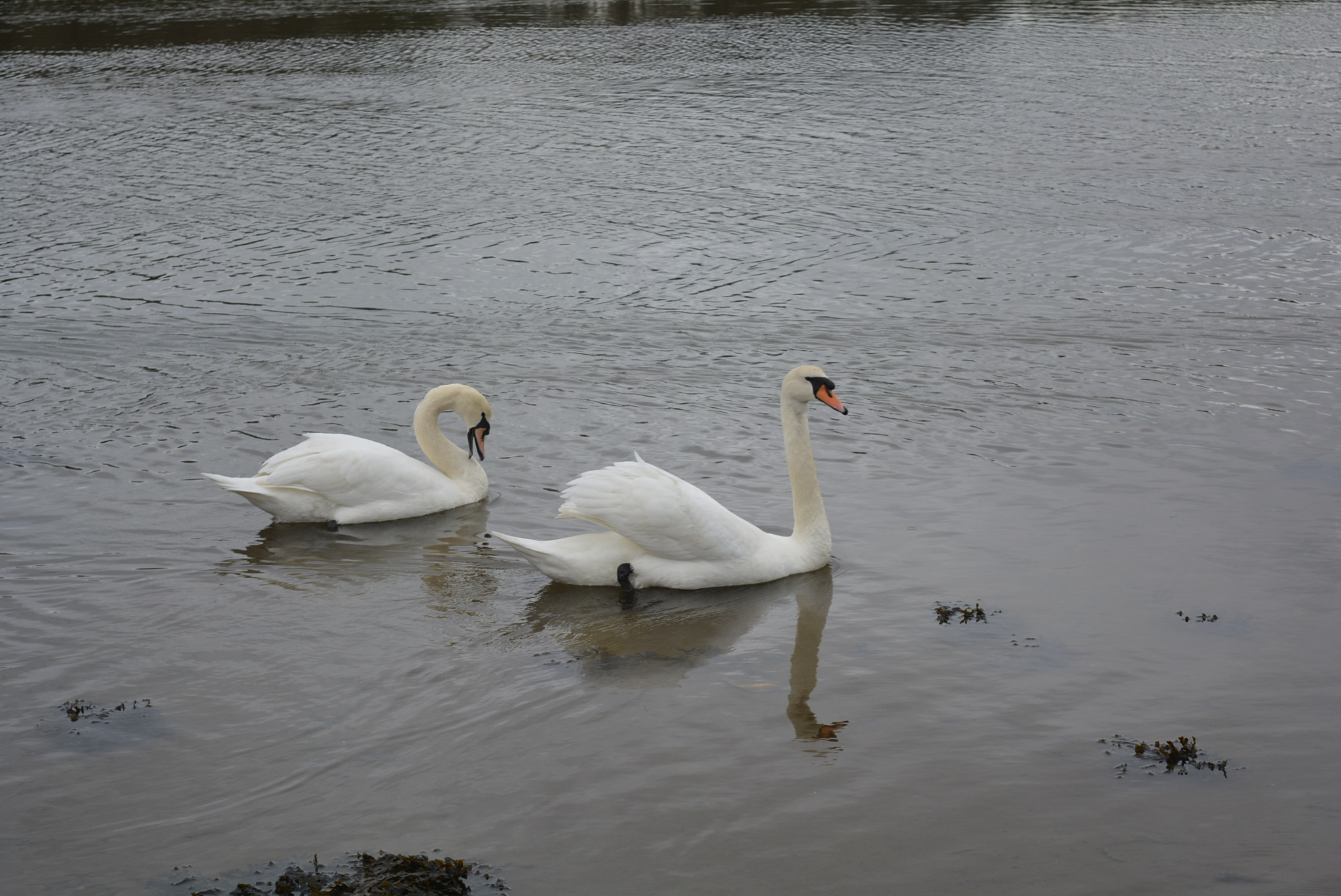 Two swans are swimming by Talana_smith