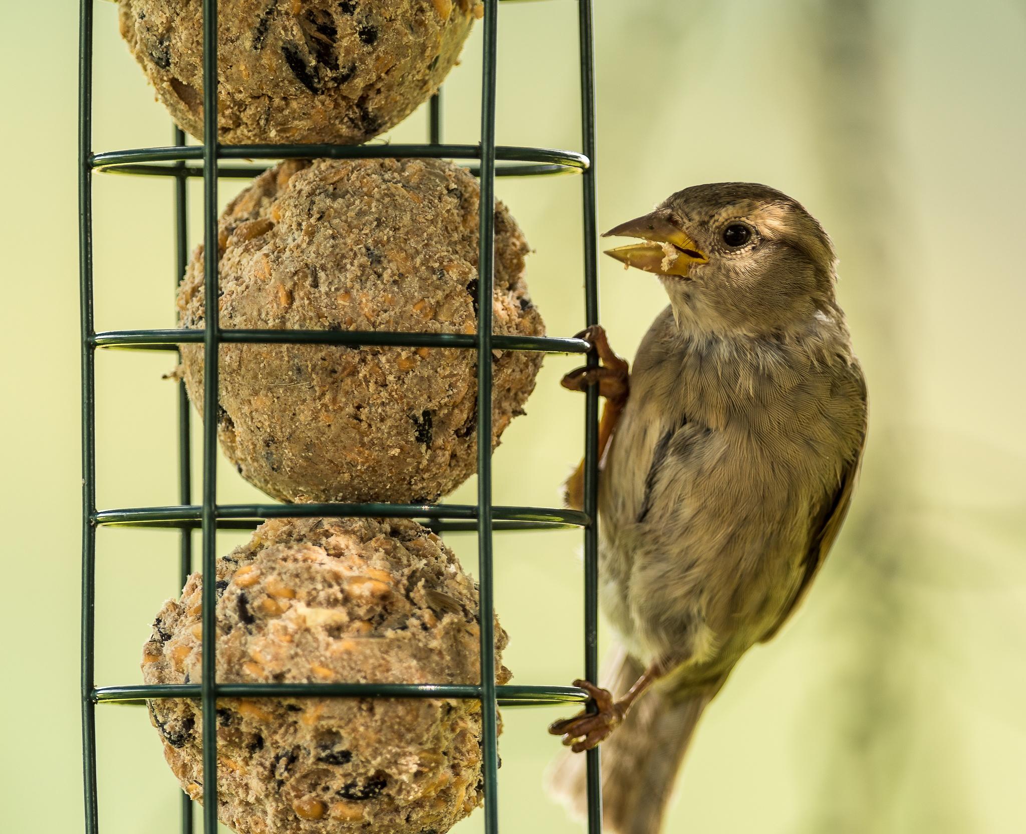 House Sparrow by Hogan