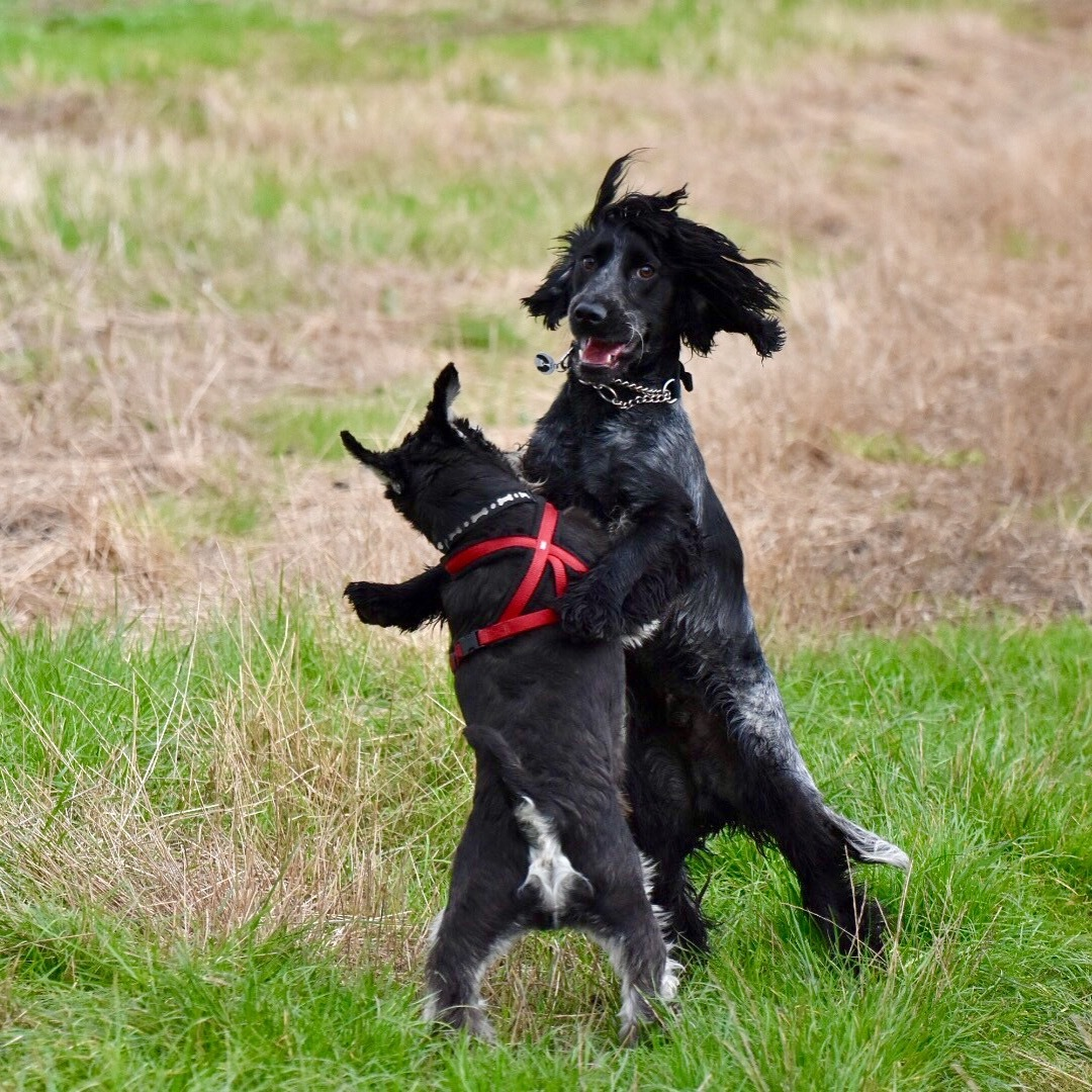 Miniature schnauzer and Cocker spaniel grappling by Richie Gray