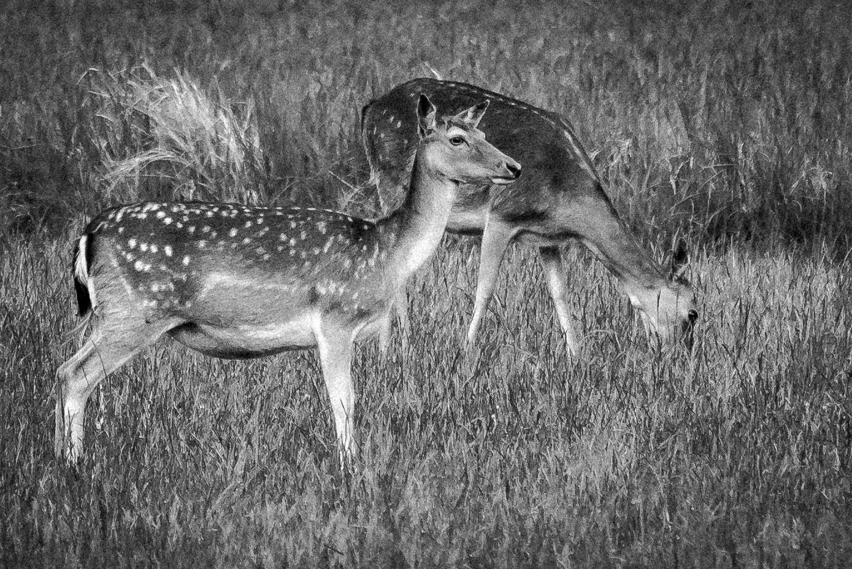 Fallow deers by RogerF