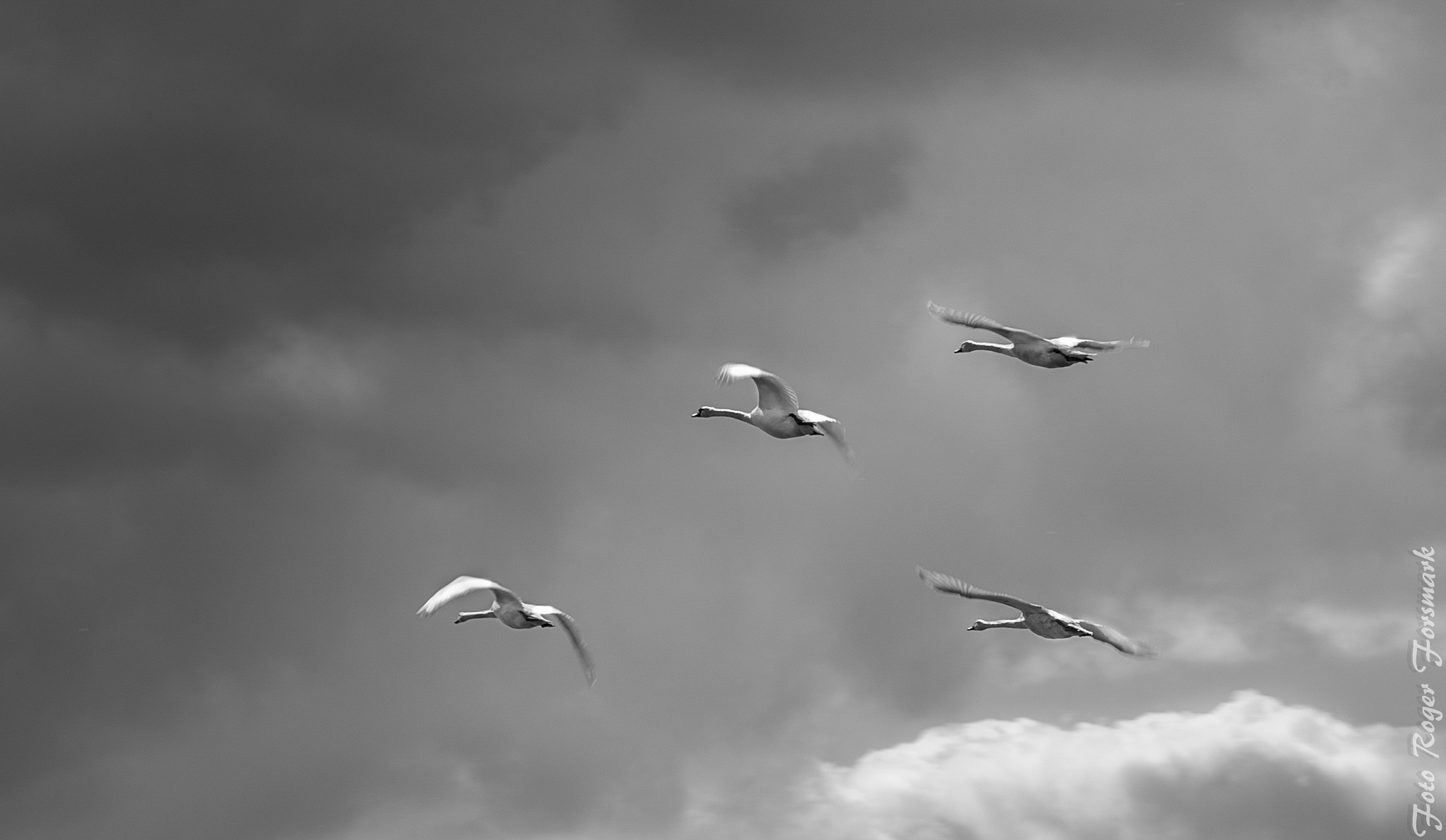 Swans by RogerF