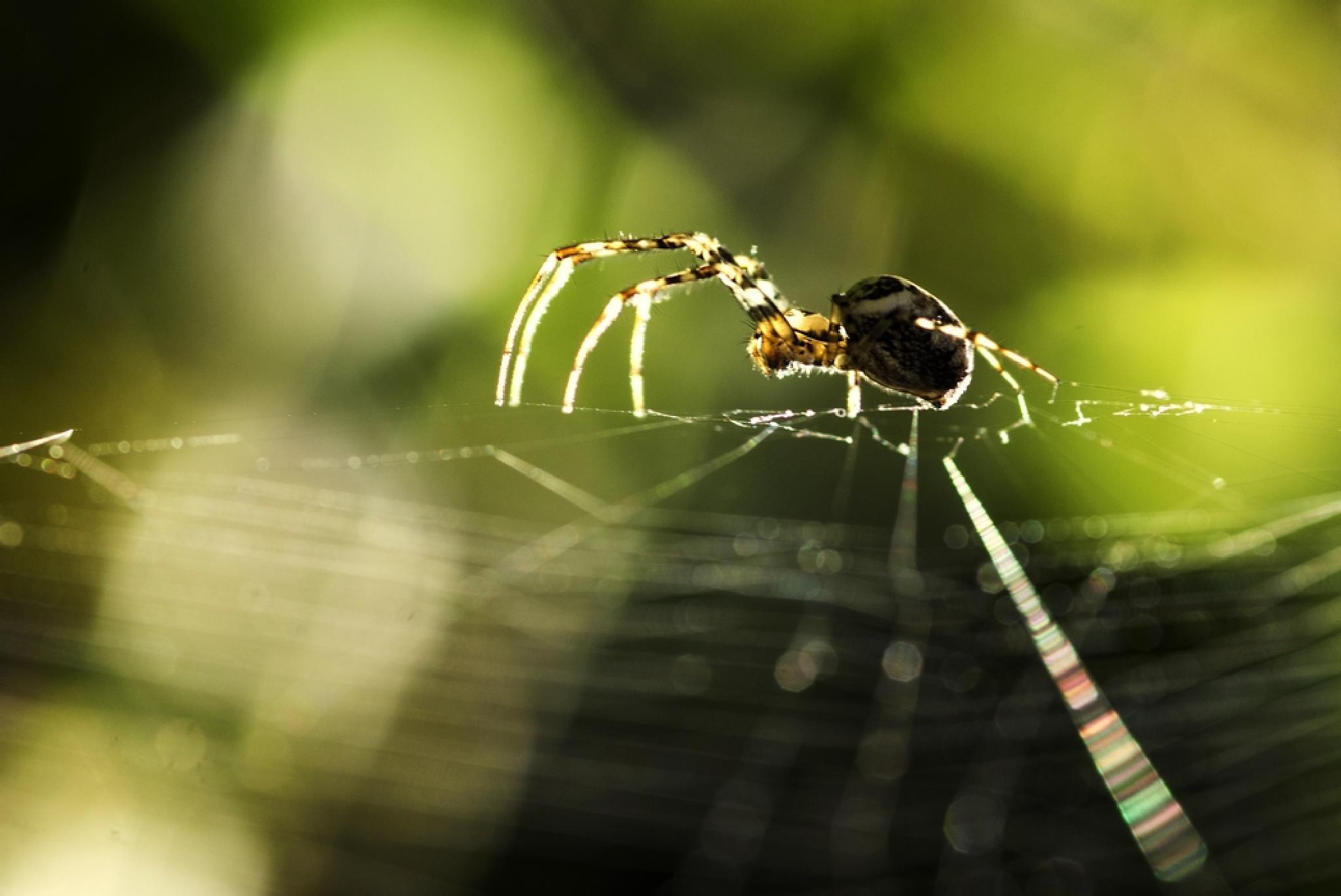Spider by Erol AYYILDIZ