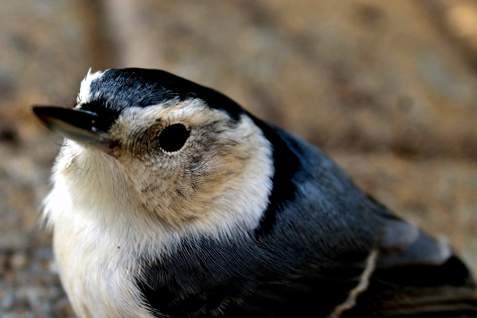 BIRD - NUTHATCH 2 by Cathy C Photography