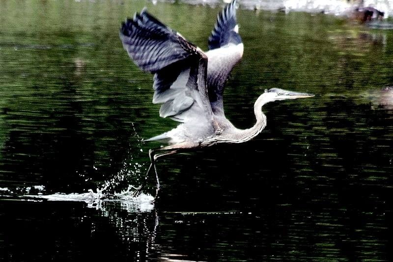 BLUE HERON IN FLIGHT by Cathy C Photography