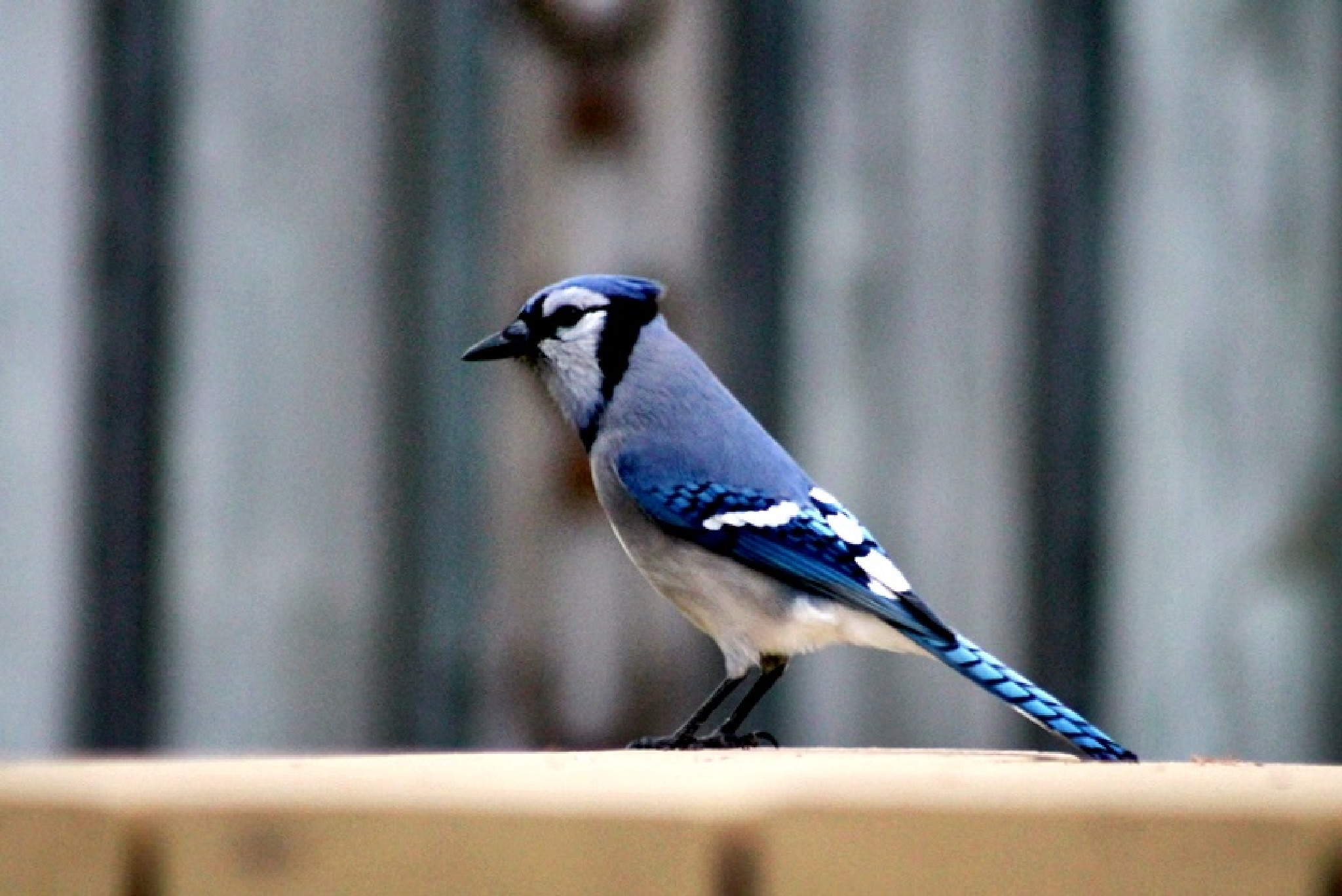 BLUE JAY by Cathy C Photography