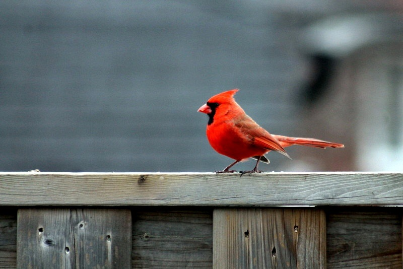 CARDINAL - MALE by Cathy C Photography