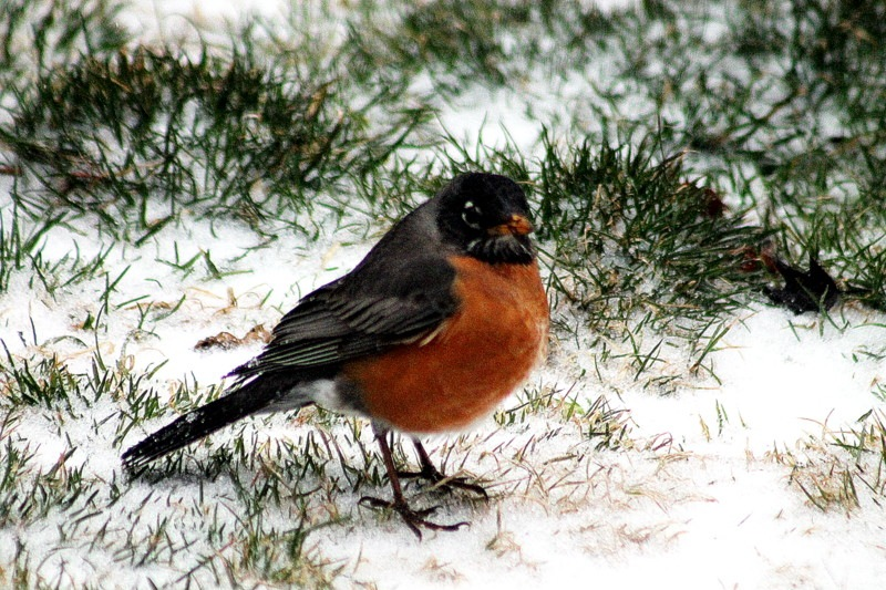ROBIN by Cathy C Photography