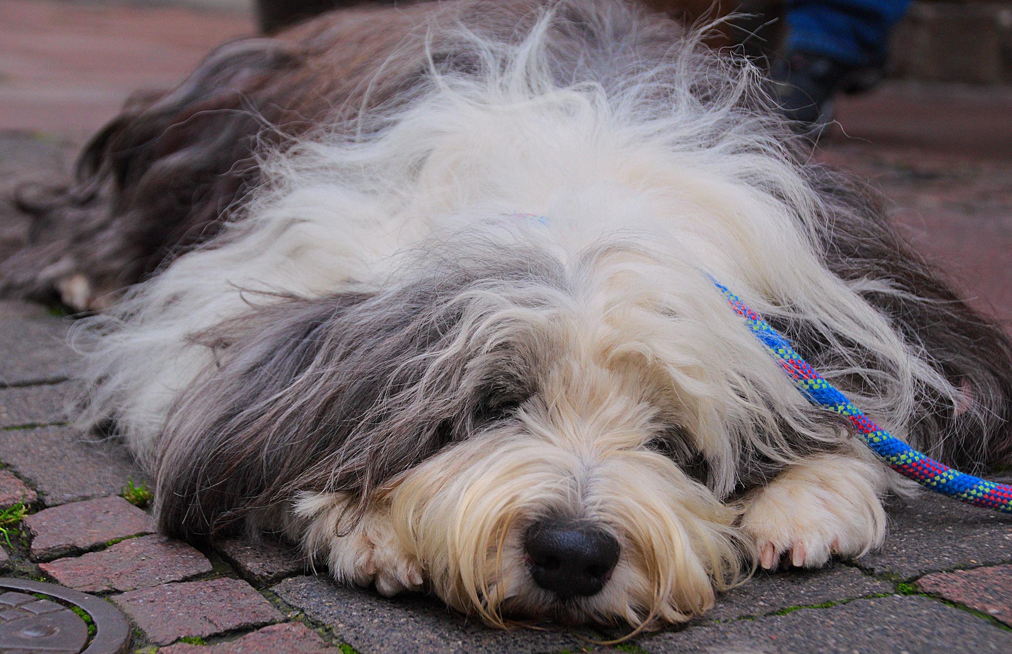 Ein müder Hund by Blandyna Bogdol