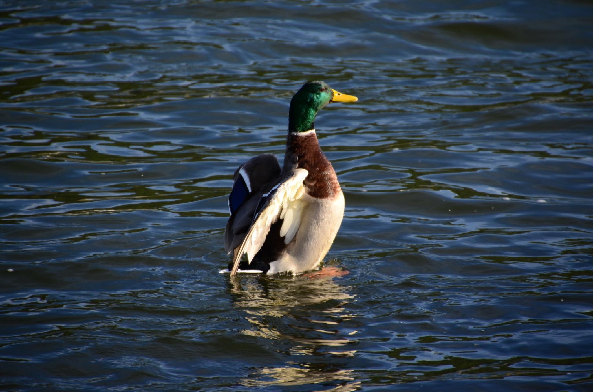 Ente kurz vor dem Abflug by Blandyna Bogdol
