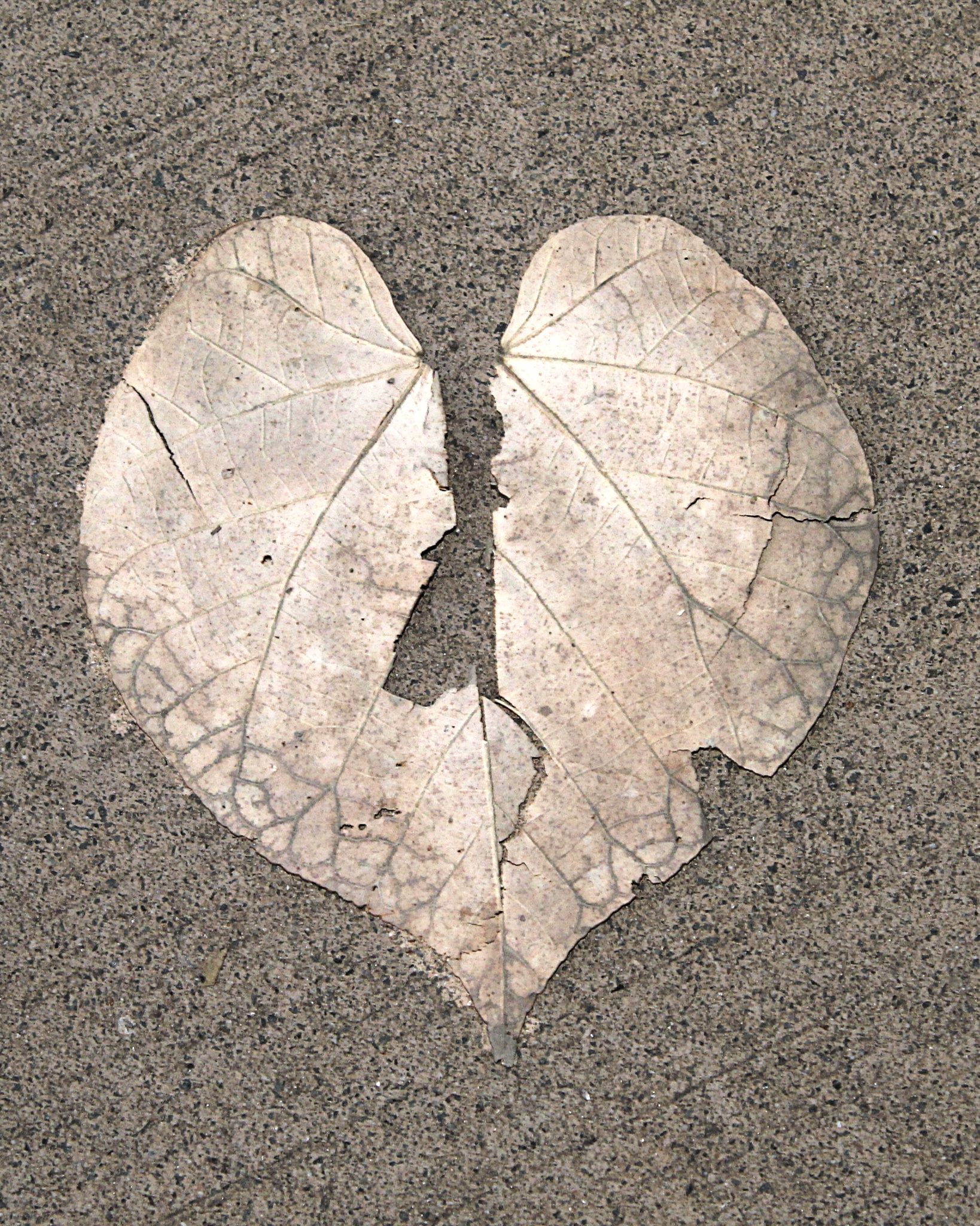 Heart Shape Leaf by Sarah Black