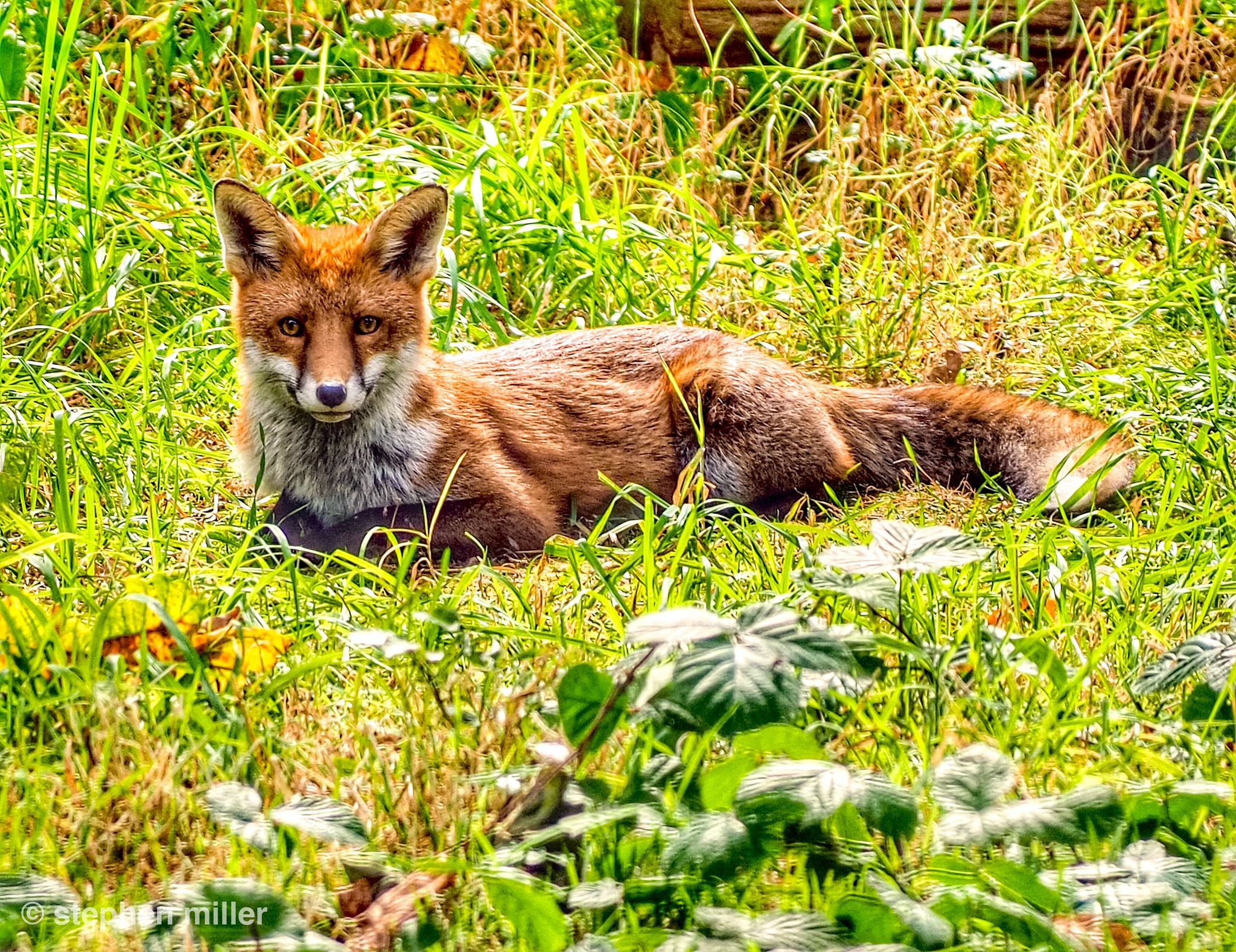 Red fox  by Stephen Miller