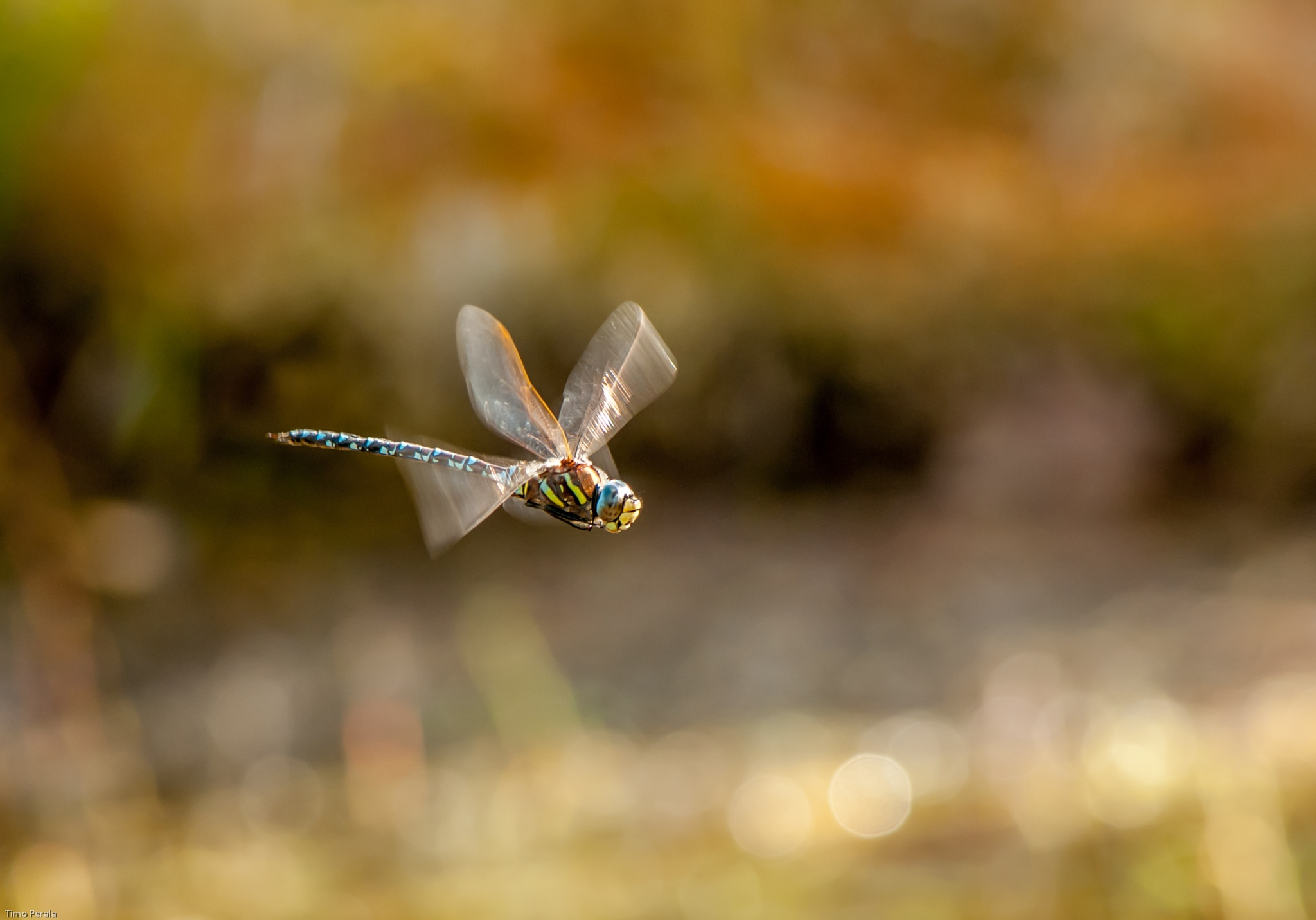 Dragonfly by Timo Perala