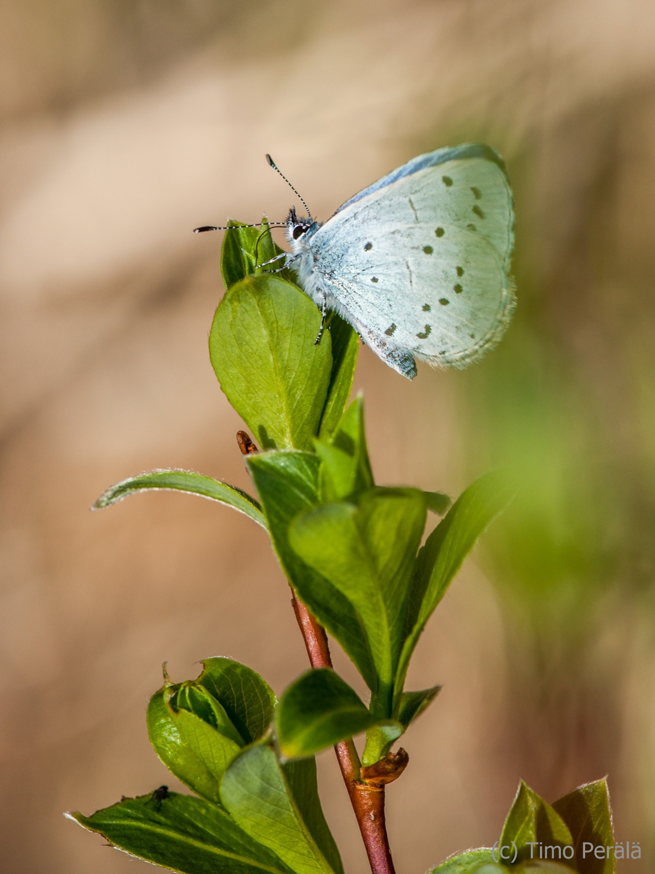Butterfly Holly Blue by Timo Perala