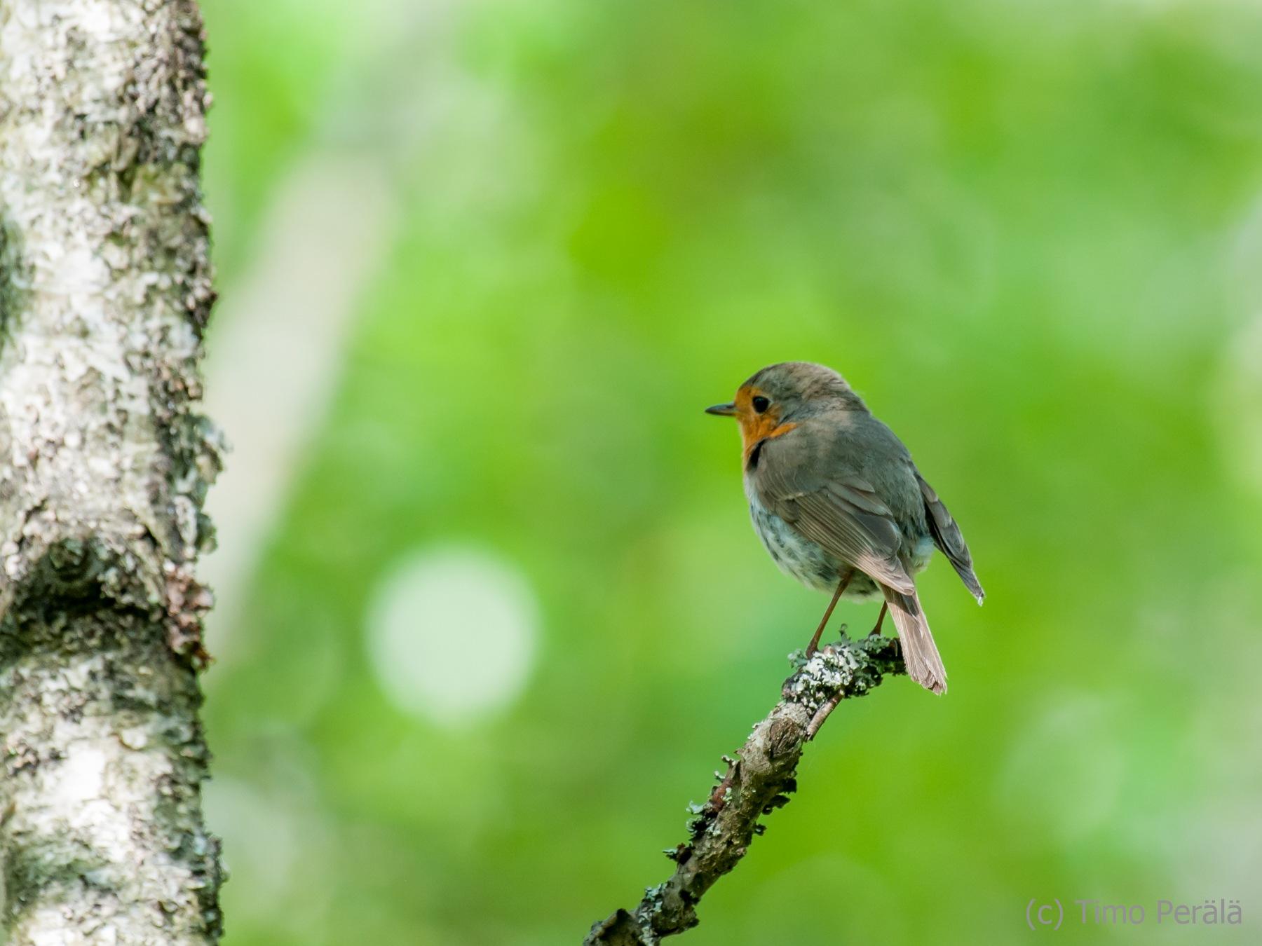 Small bird by Timo Perala