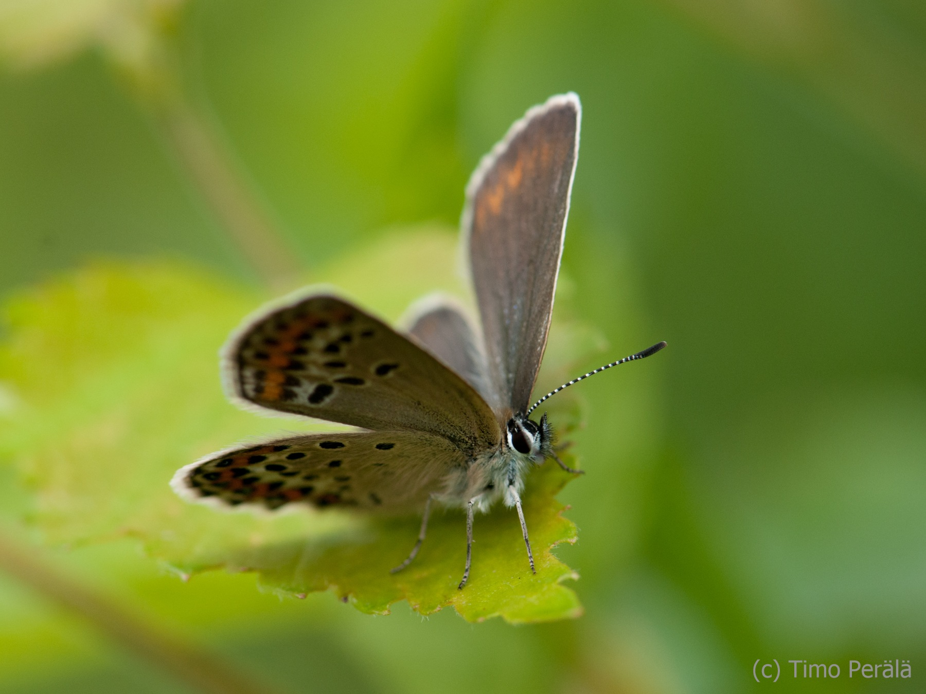 Butterfly by Timo Perala