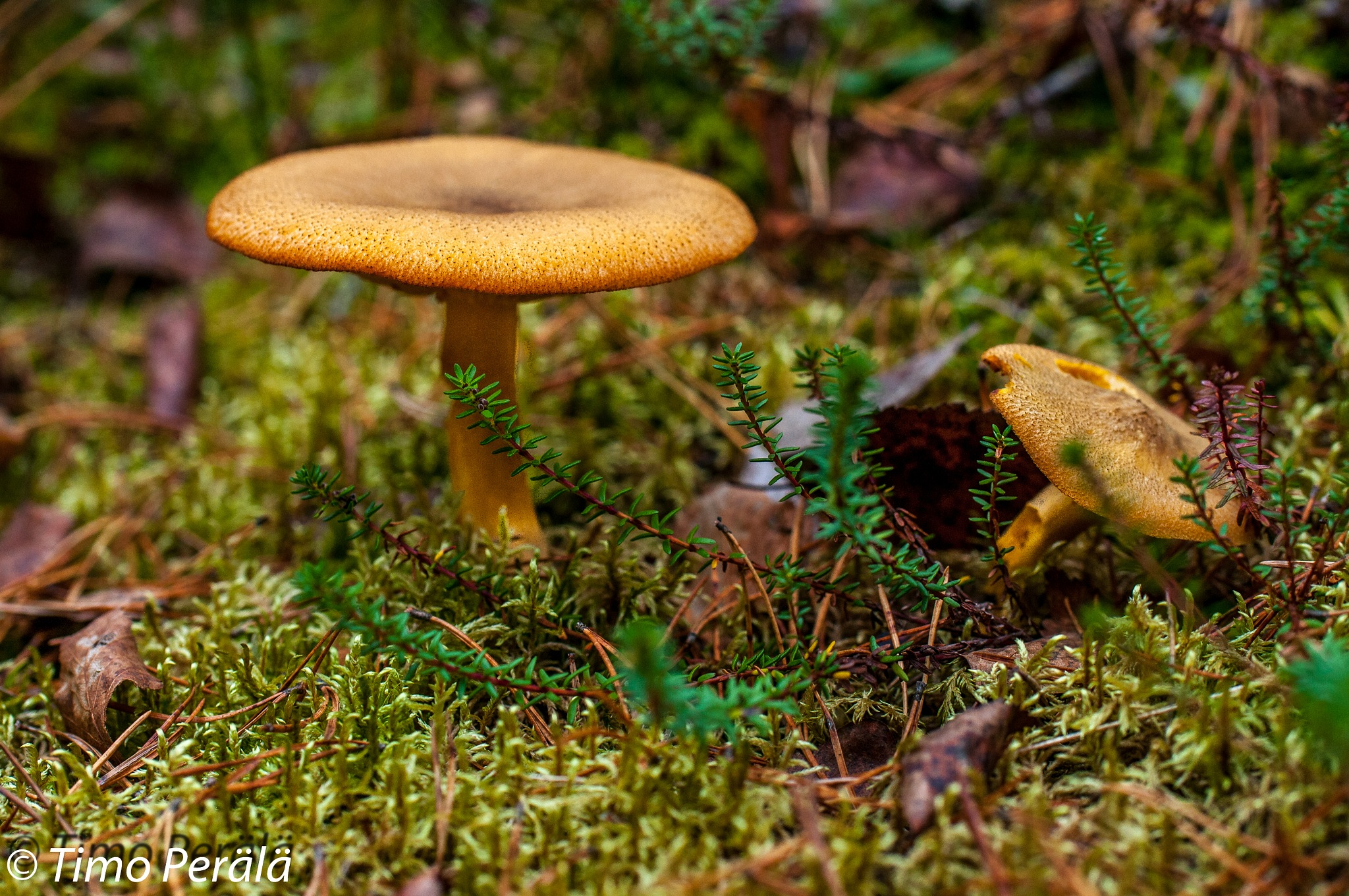 Wild mushroom by Timo Perala