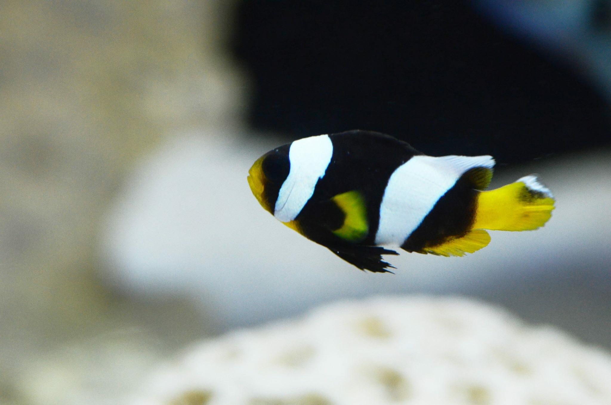 Indian Clown Fish by ameekmansuri82