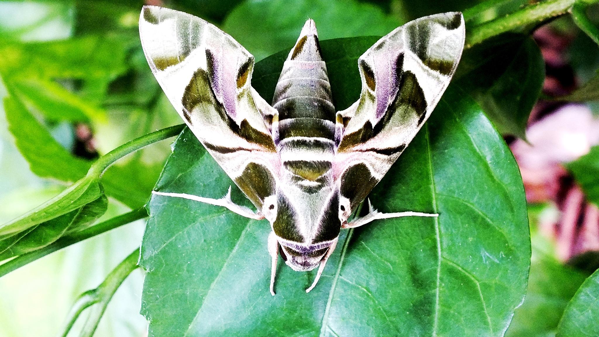moth by hermantomahyuddin