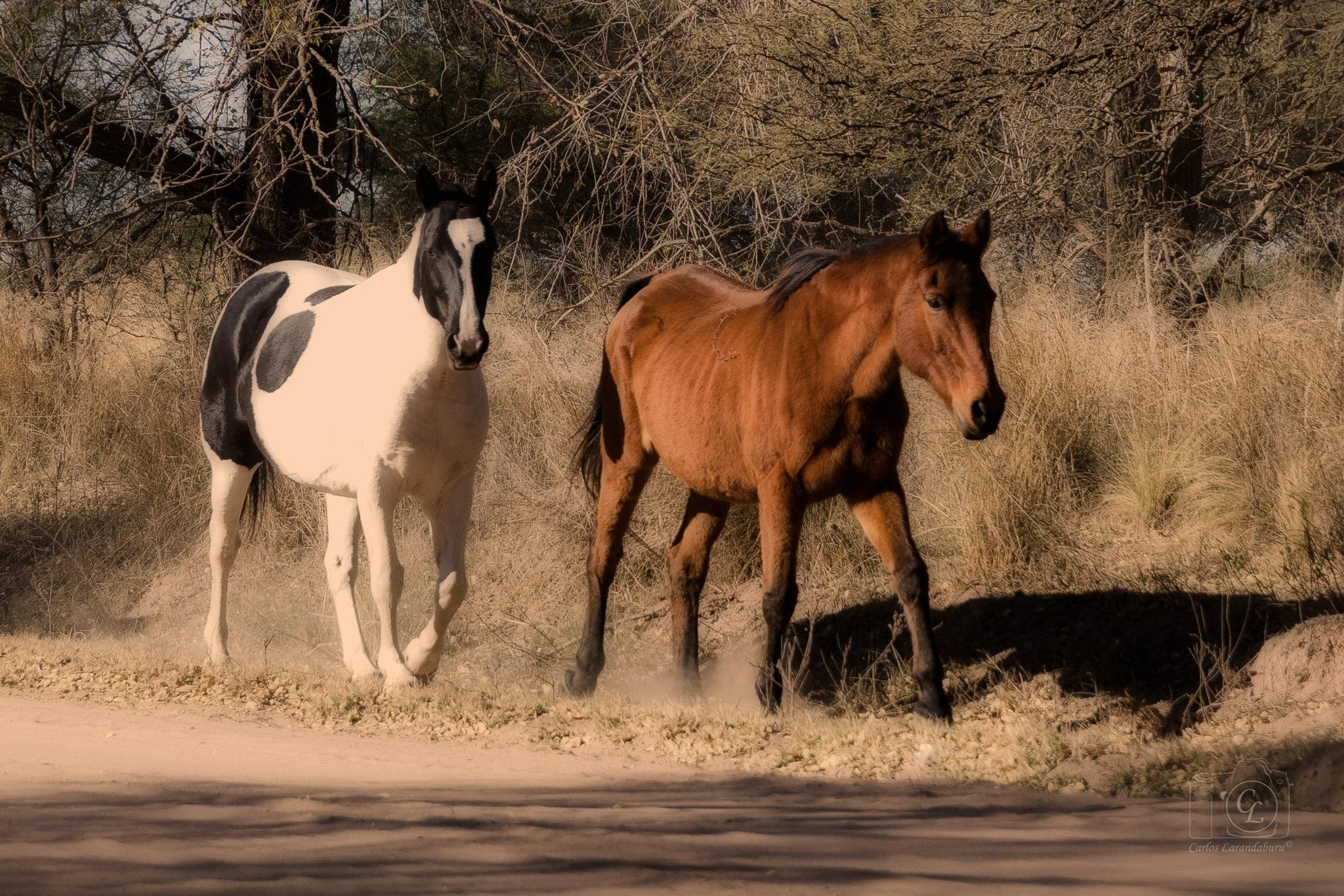 Horses by clarandaburu