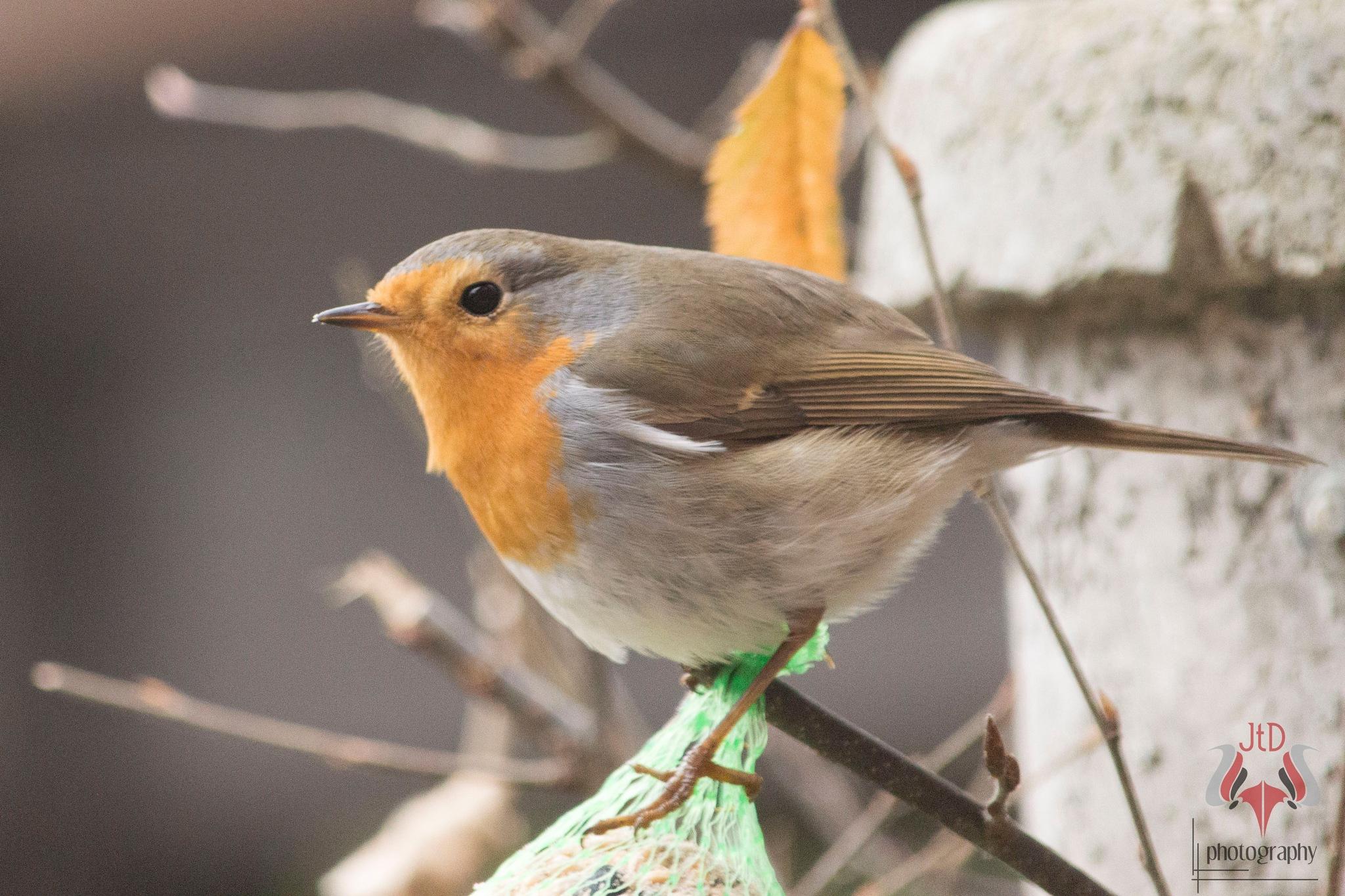 Robin, Roodborst by JaDek