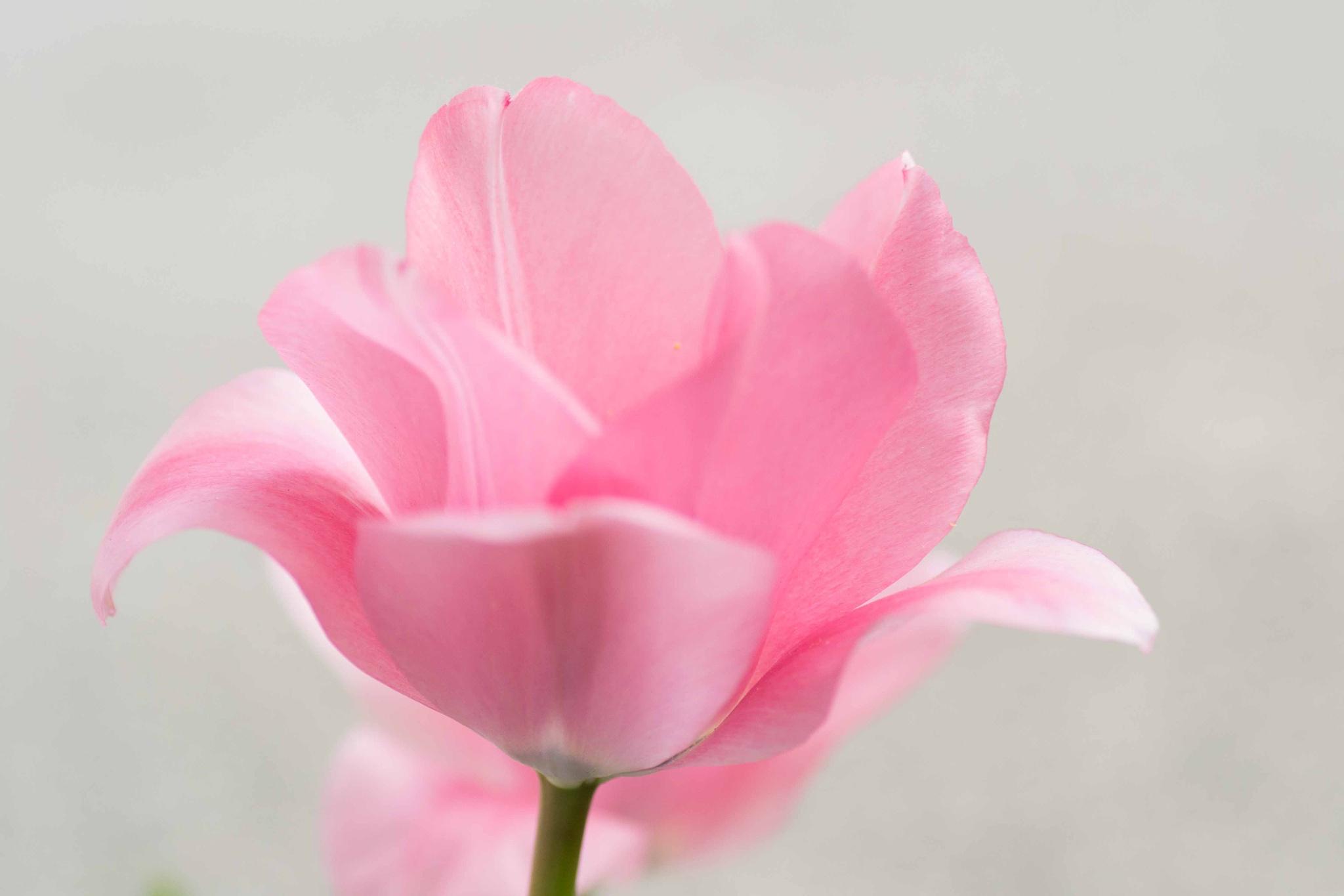 Pink Cheeks by SchrodingersAlley