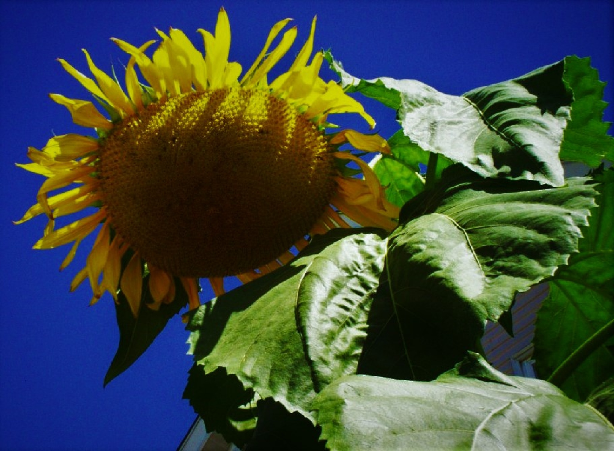 Giant Sunflower II by Dshawn732