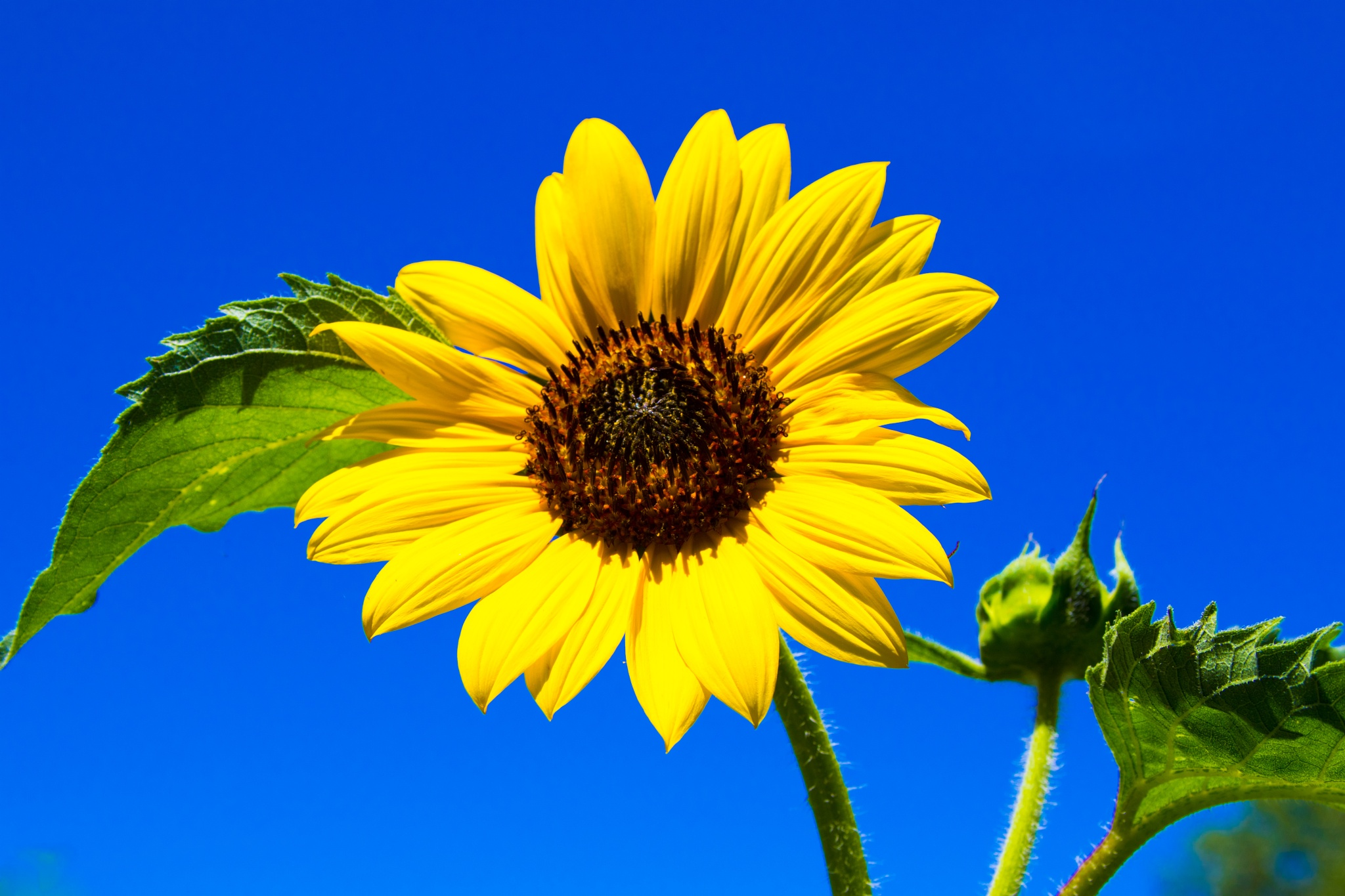Sunflower by ejk41