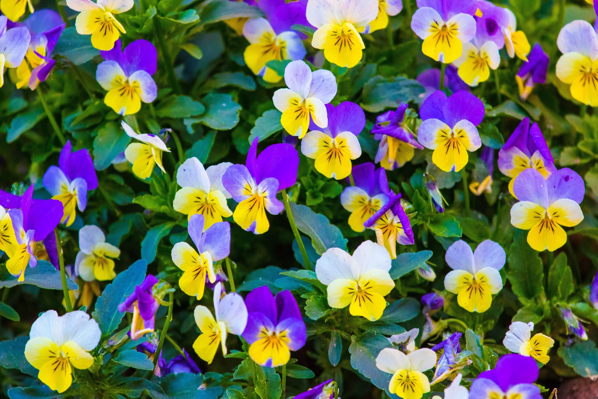 Pansie's by ejk41