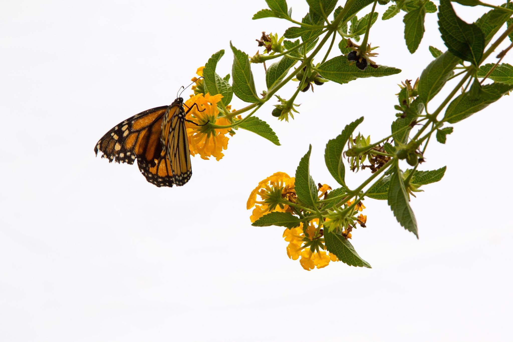 Butterfly by ejk41