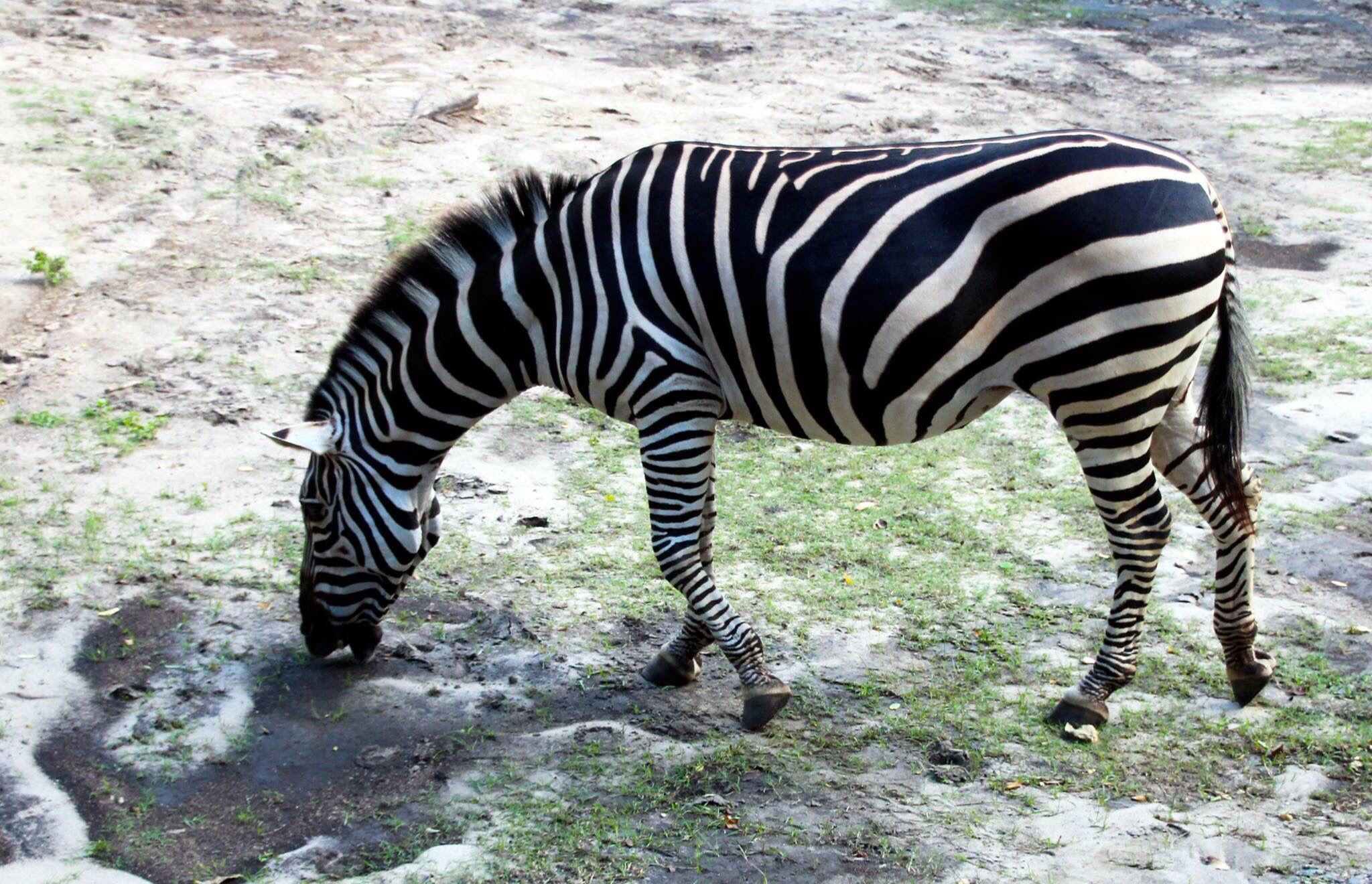 Zebra by Joe Boyes