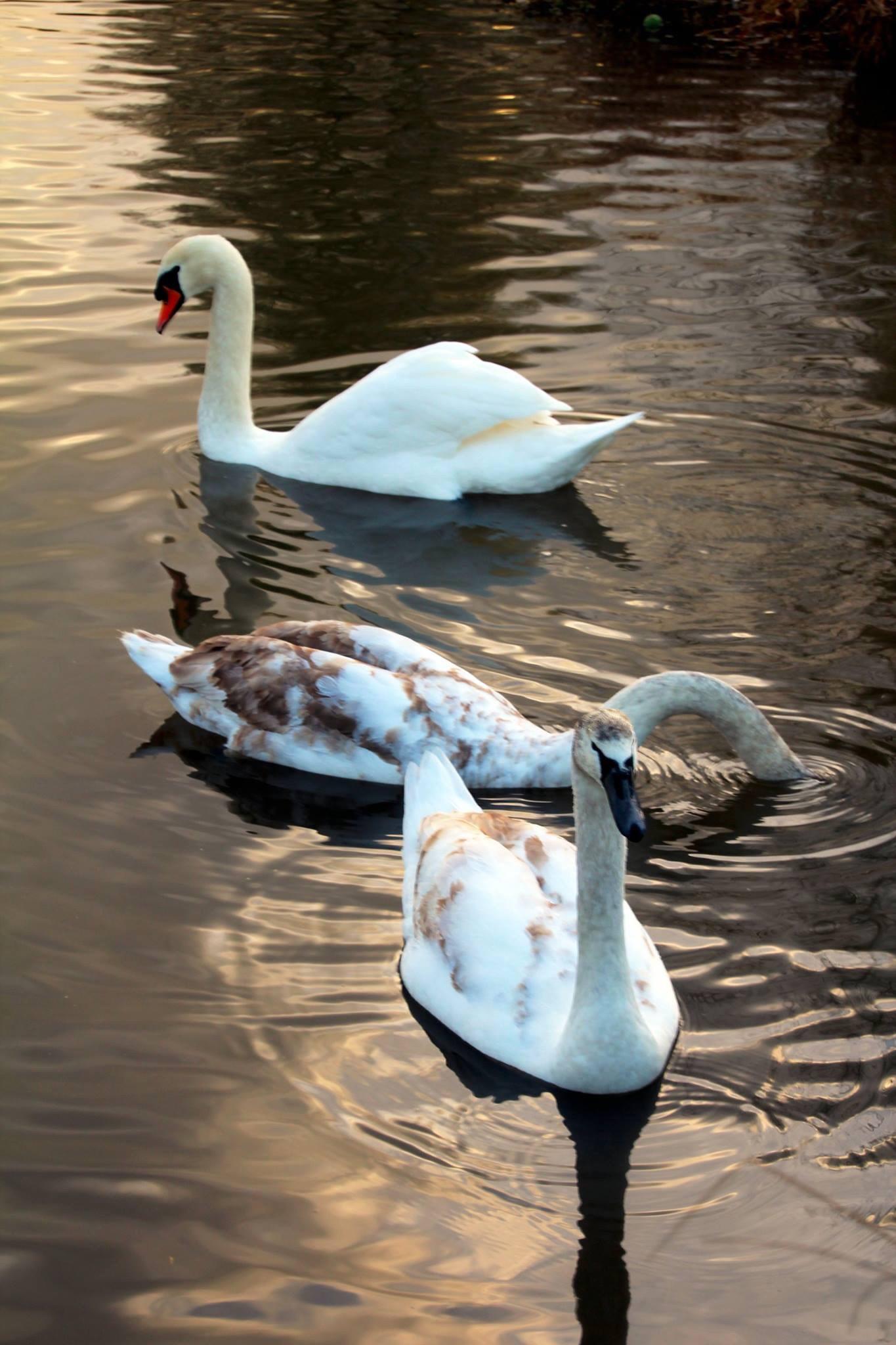 Swan 7 by Joe Boyes