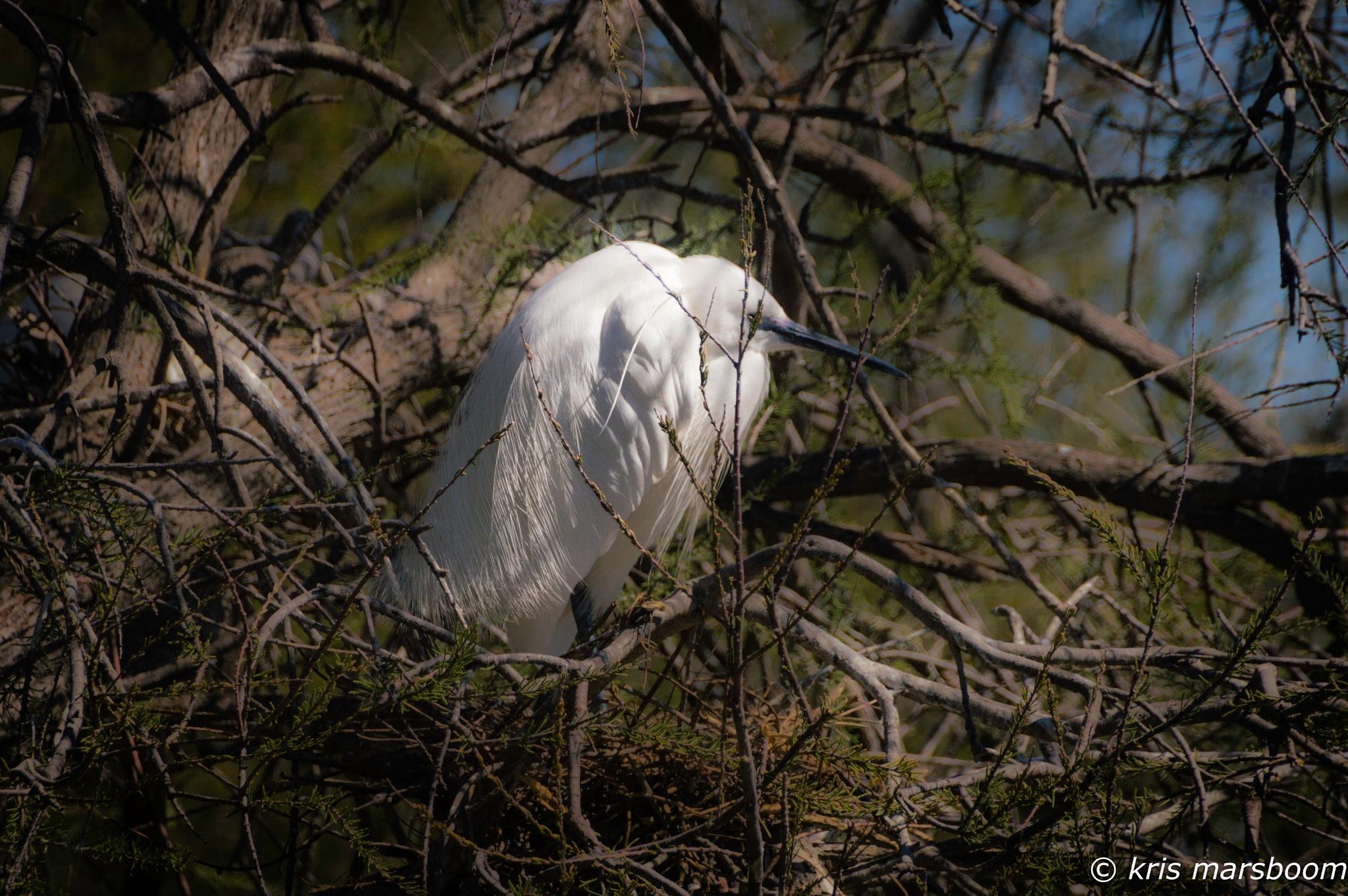Little Egret by Kris.Marsboom