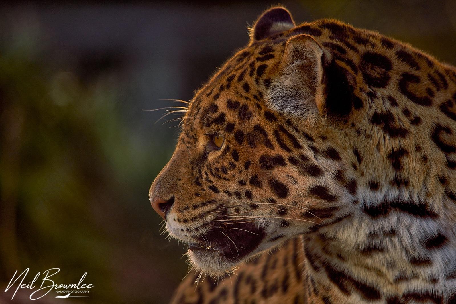 Photo in Animal #portrait #jaguar #lake district #low light