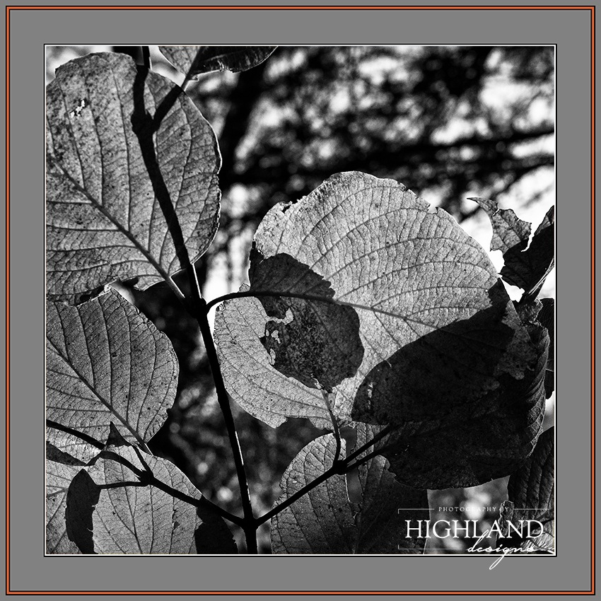 Beech Leaves B&W by Photography By Highland Designs