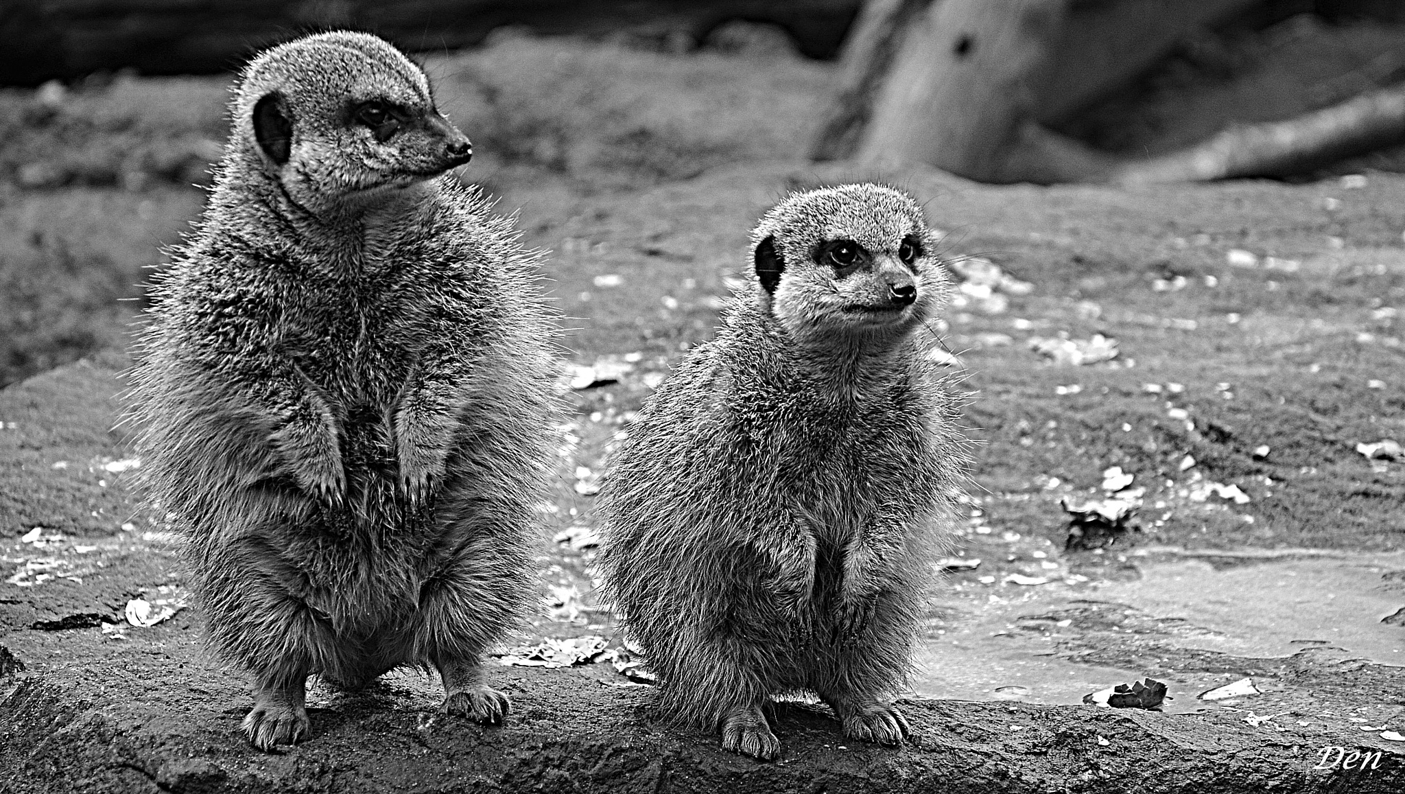 The Meerkats by Denis_Bond