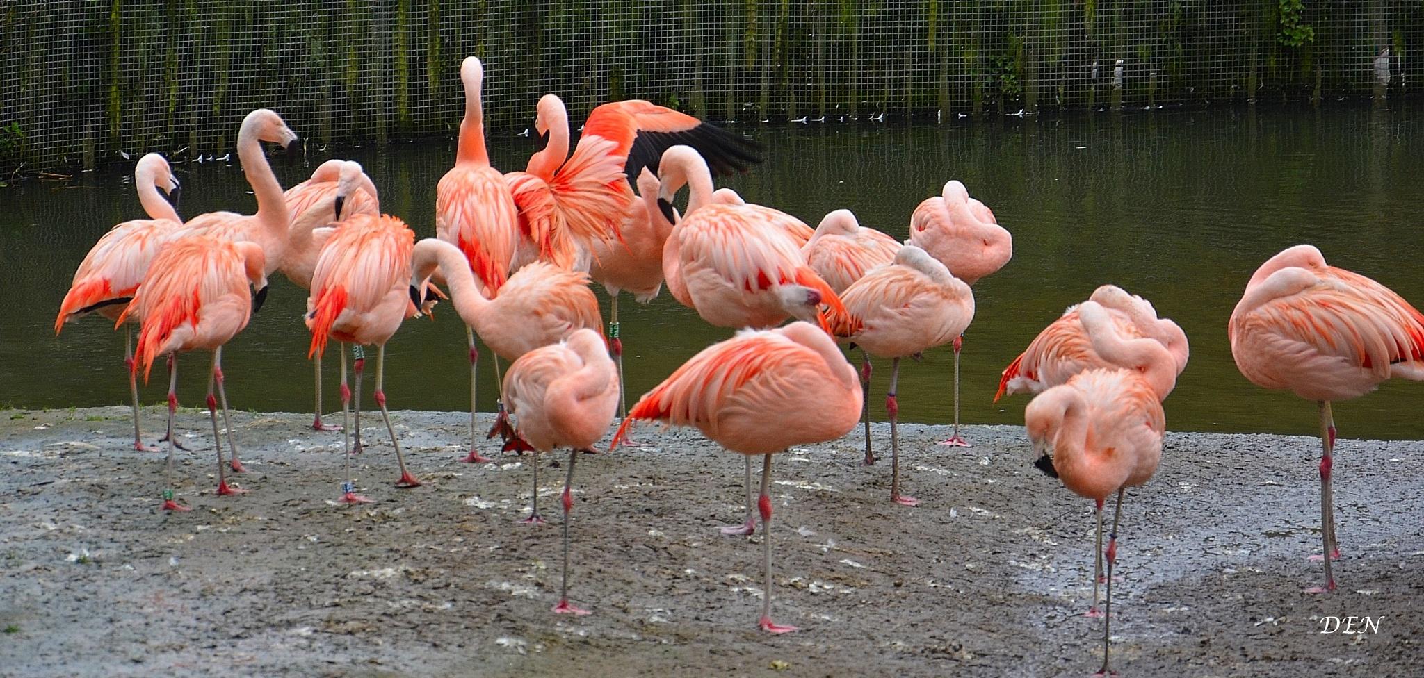 Pretty Flamingo by Denis_Bond