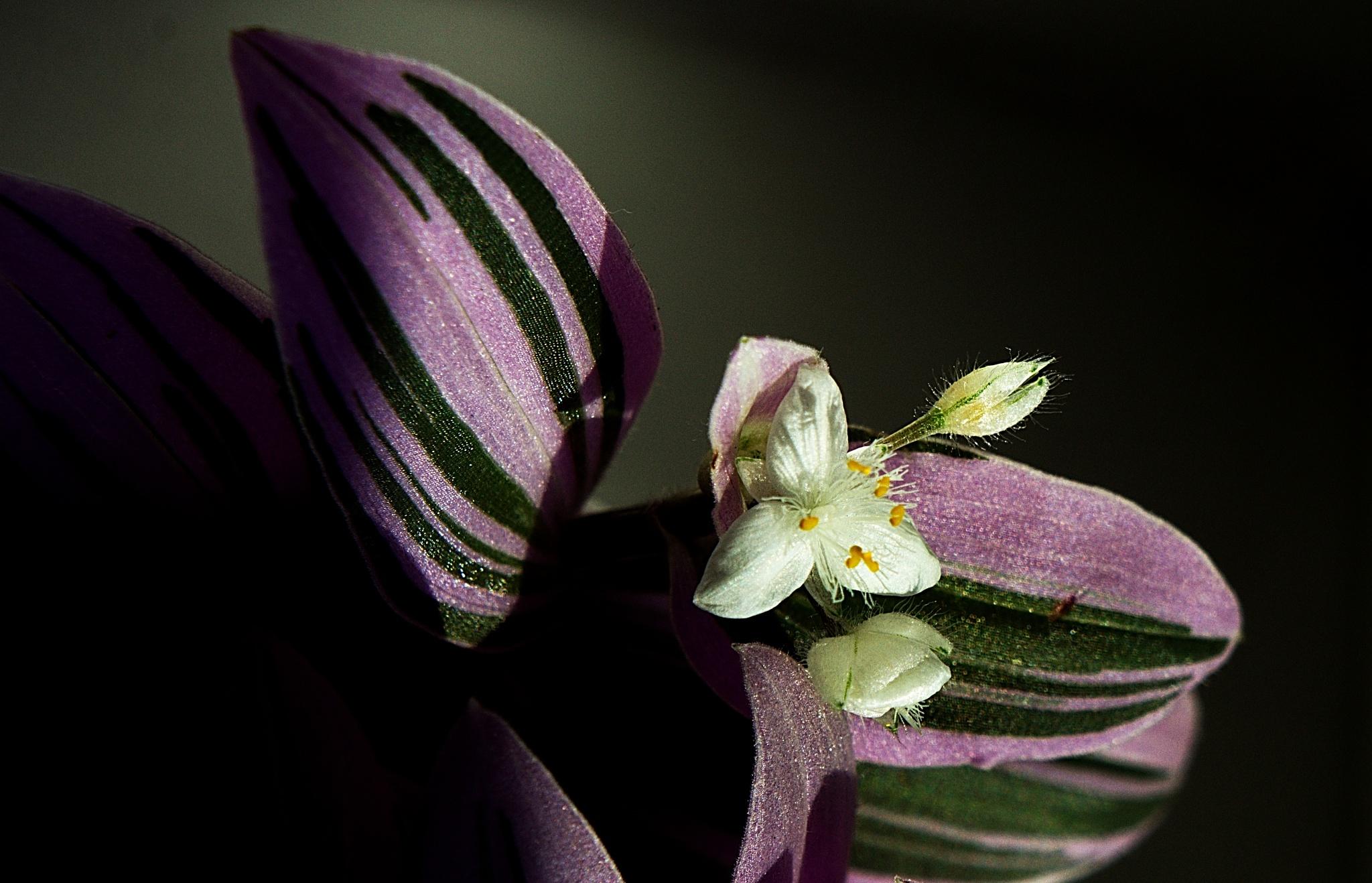 Tradescantia - spiderworts by kleckaj6