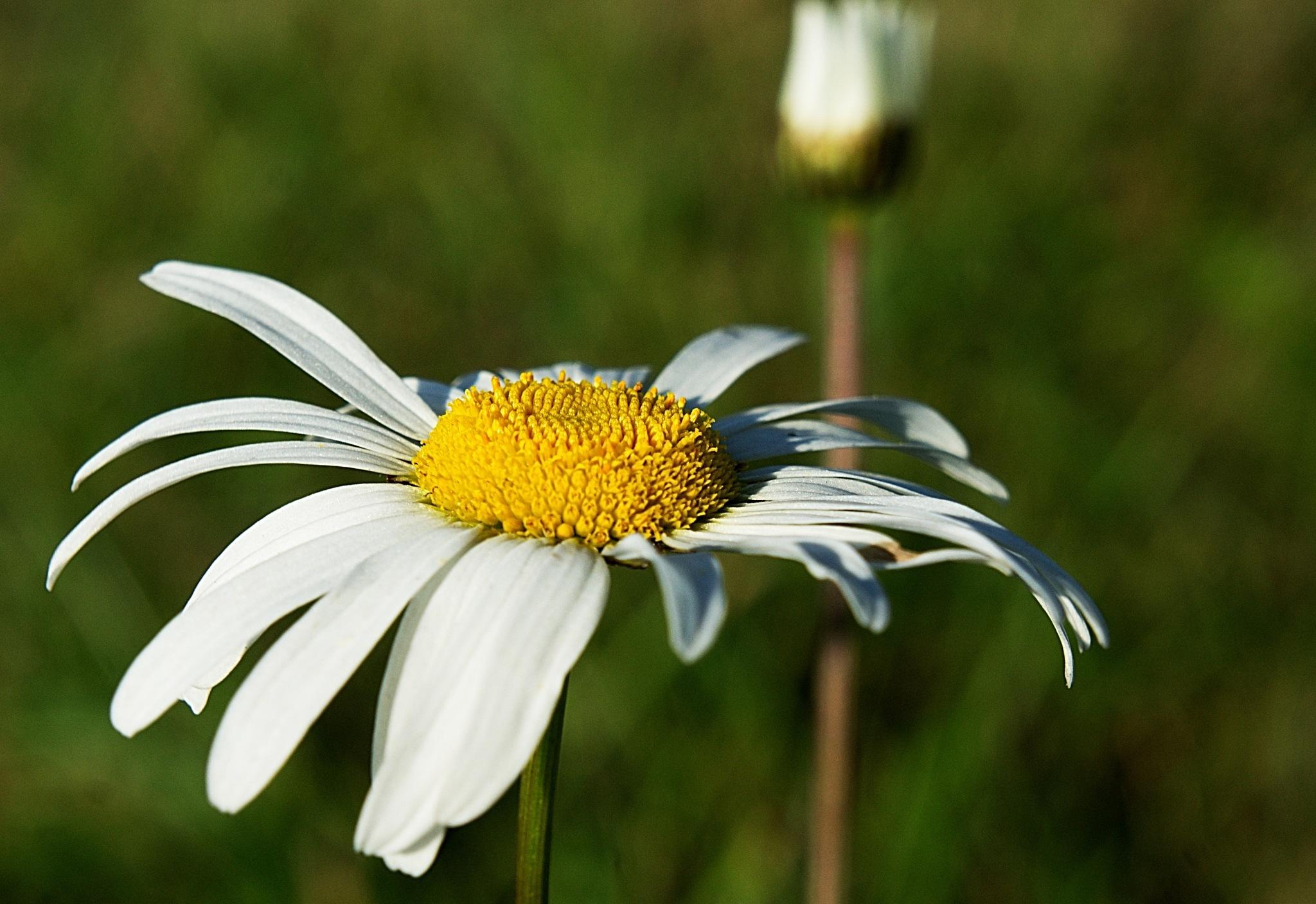 Autumn daisy by kleckaj6