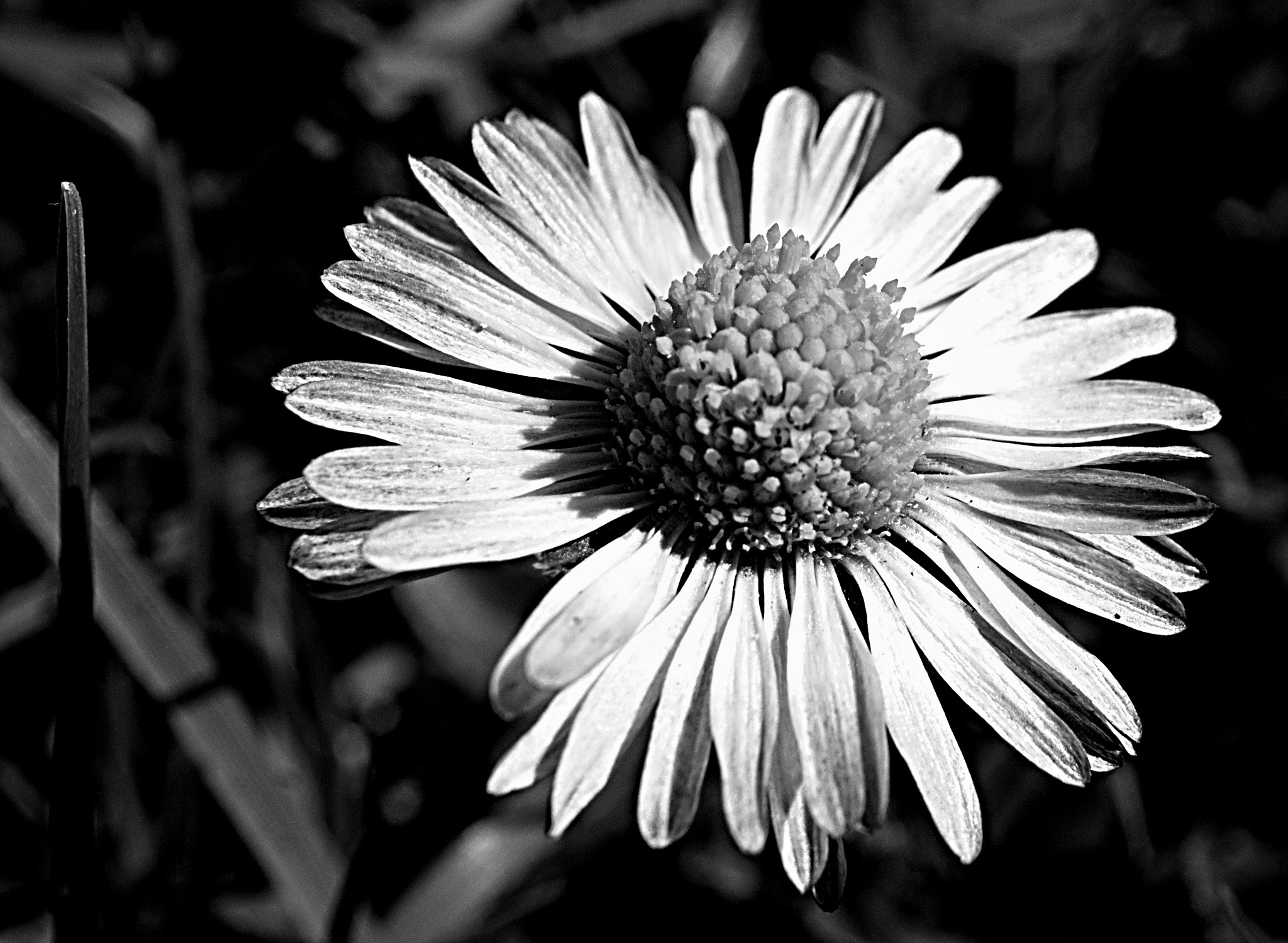 Daisy by kleckaj6