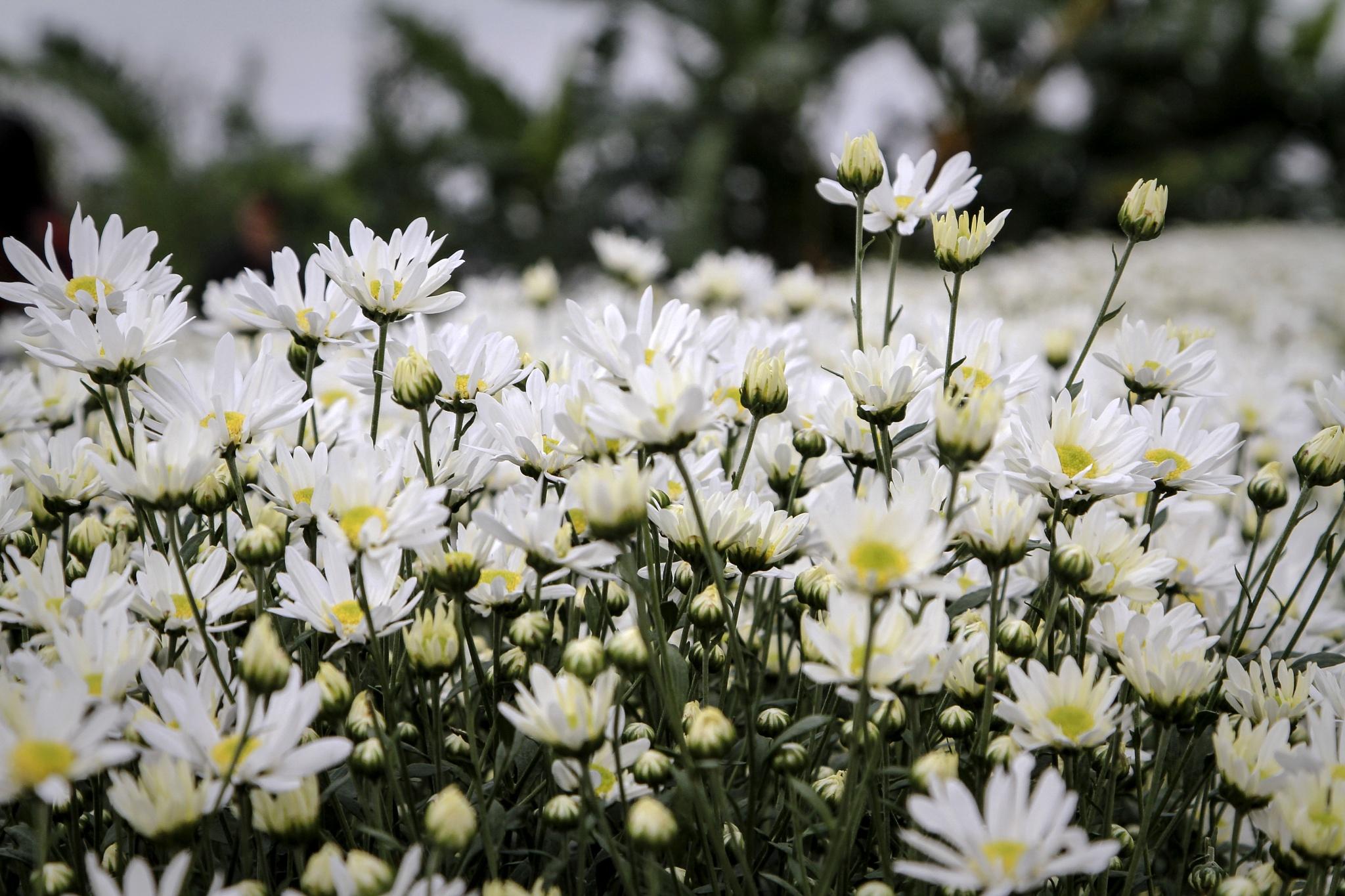 hoa cúc by HungNguyen