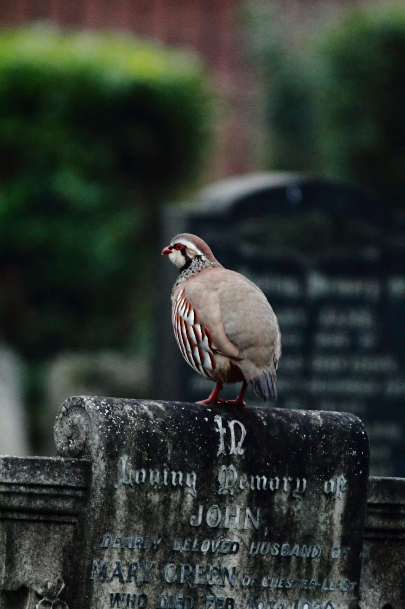 Red Legged Pheasant  by Steve Flanagan