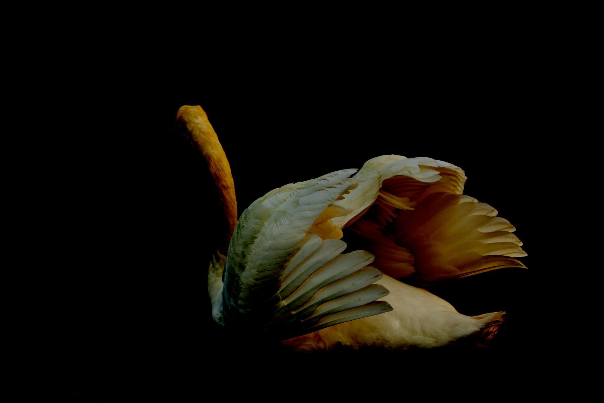 Swan the artist by nader eskandari